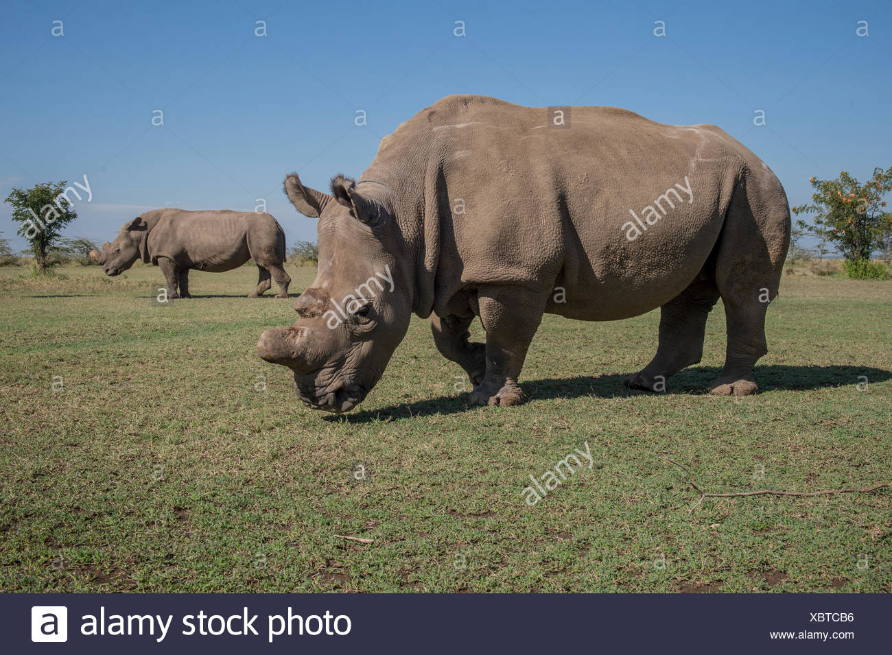 Sudan is one of the last four northern white rhinoceroses brought from a zoo in the Czech Republic to Ol Pejeta Nature Conservancy, in an effort to breed the almost extinct species. - Stock Image