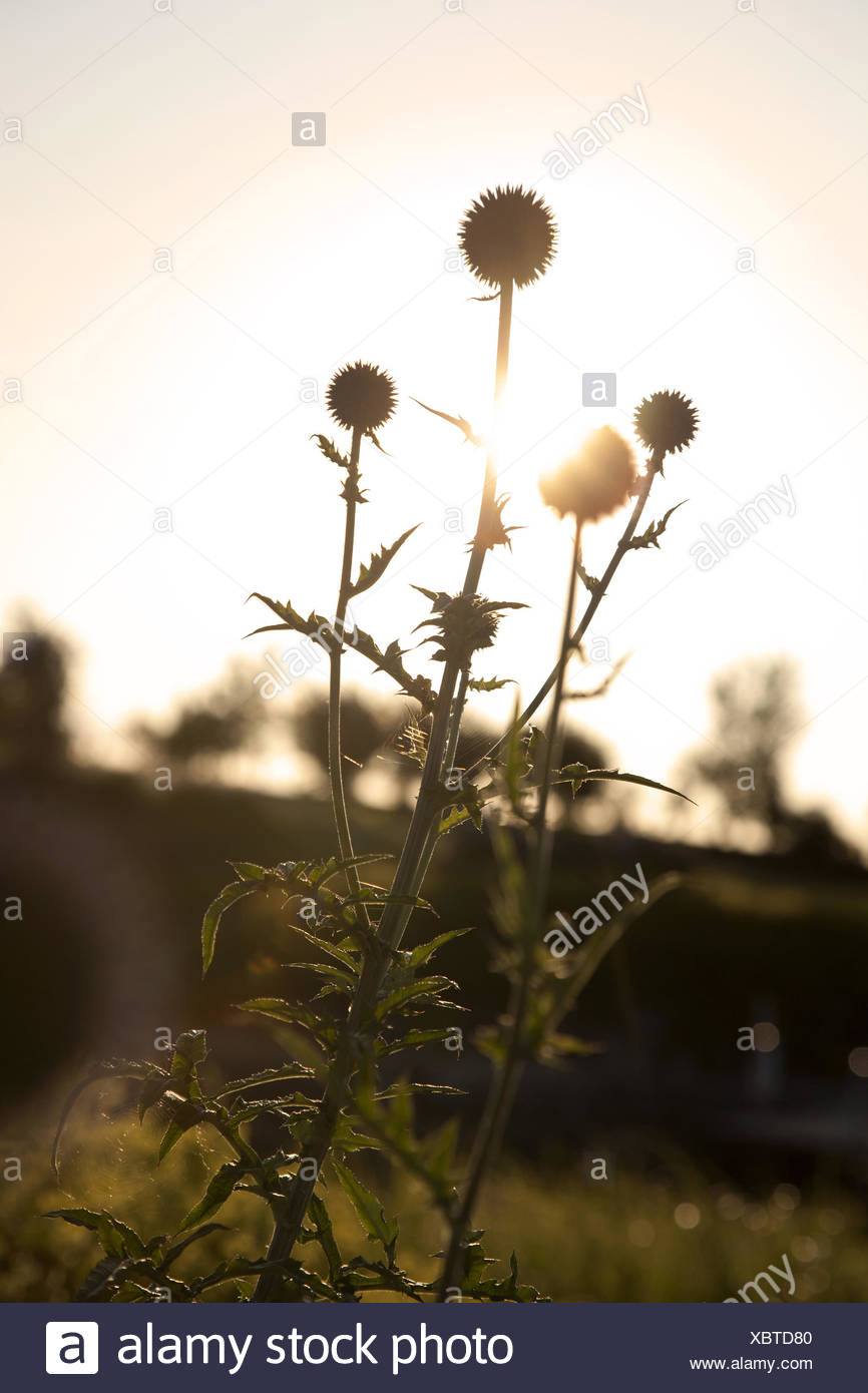 Thistles, evening sun, back light, - Stock Image