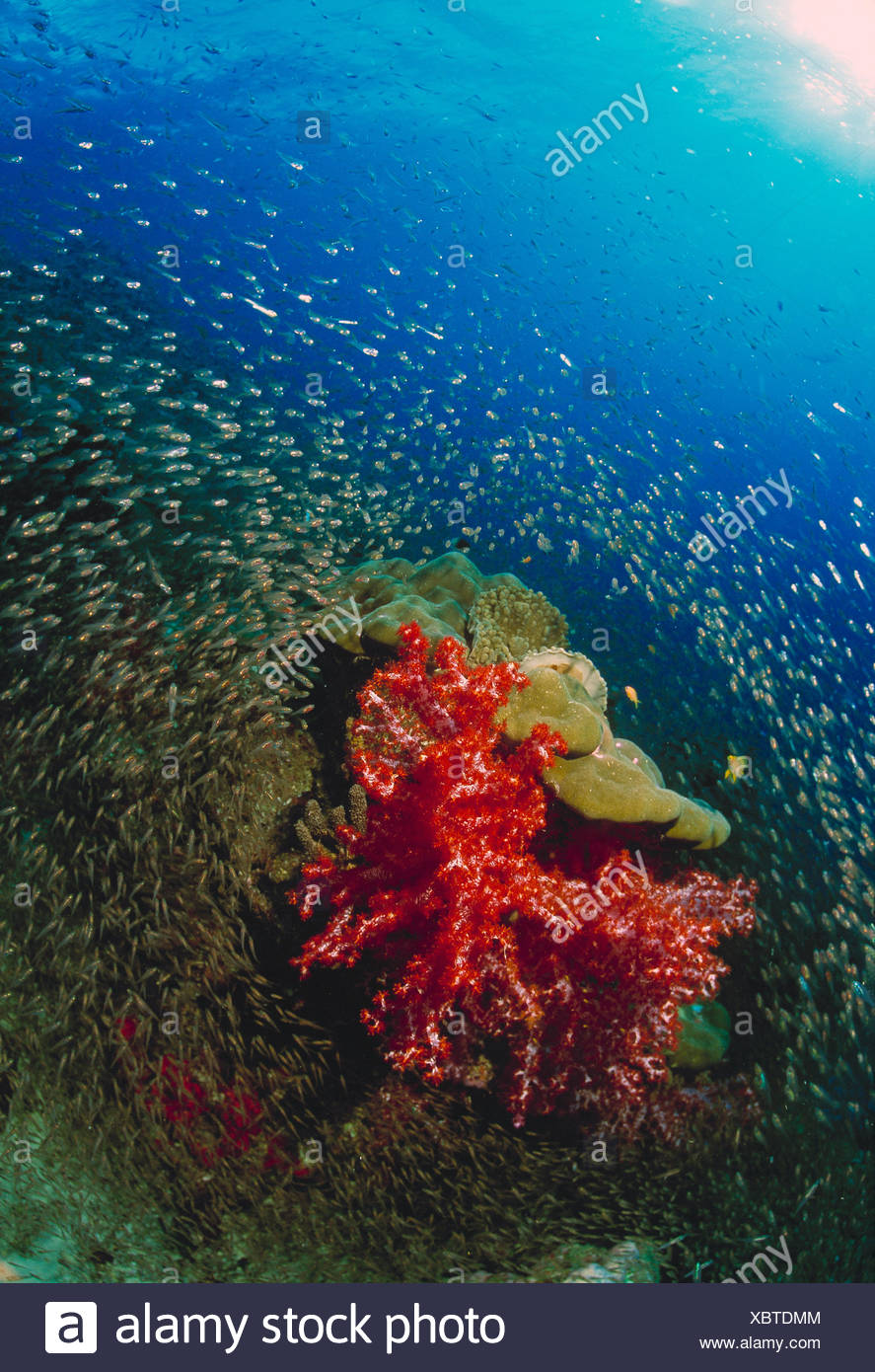 Thailand. Similan Islands. Underwater view of small fishes encircling soft corals. Stock Photo
