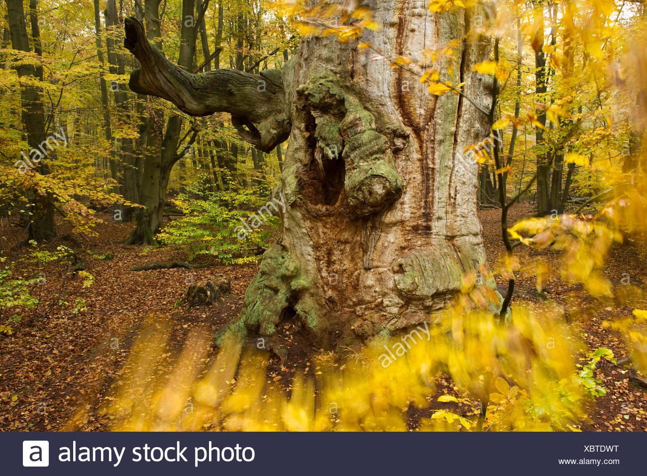 Old Oak (Quercus) in autumn, Urwald Sababurg primeval forest, Reinhardswald, Hofgeismar, North Hesse - Stock Image