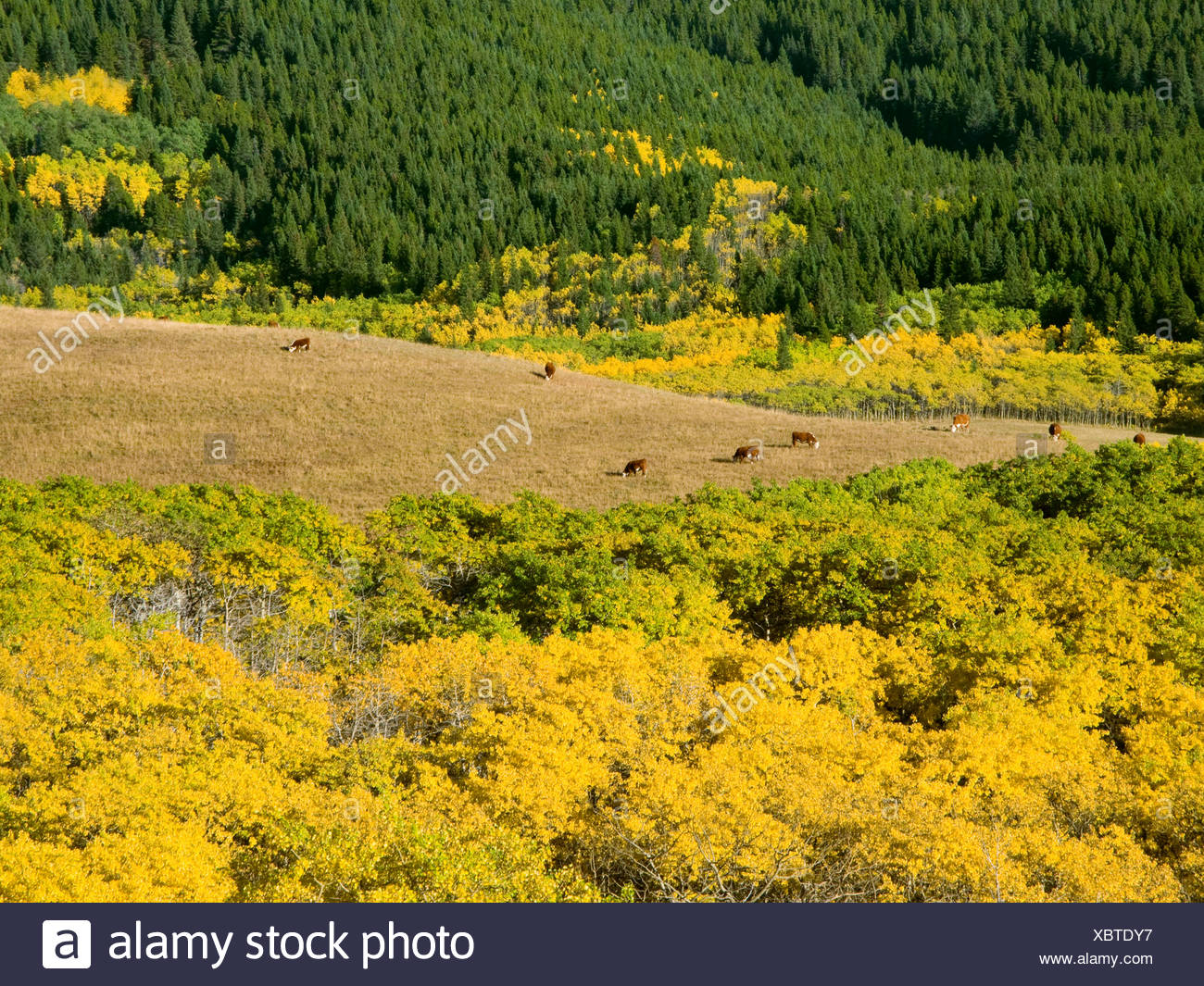 Livestock - Hereford cows grazing on a mountain meadow amidst fall colors / Alberta, Canada. - Stock Image