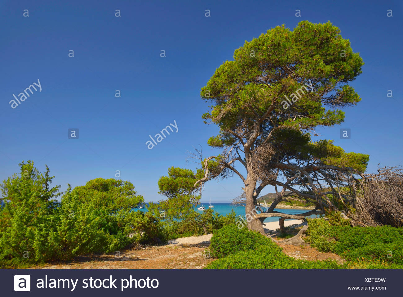 aleppo pine (Pinus halepensis), tree in Saleccia area in desert de Agriates, France, Corsica, Les Agriates, Saint Florent - Stock Image