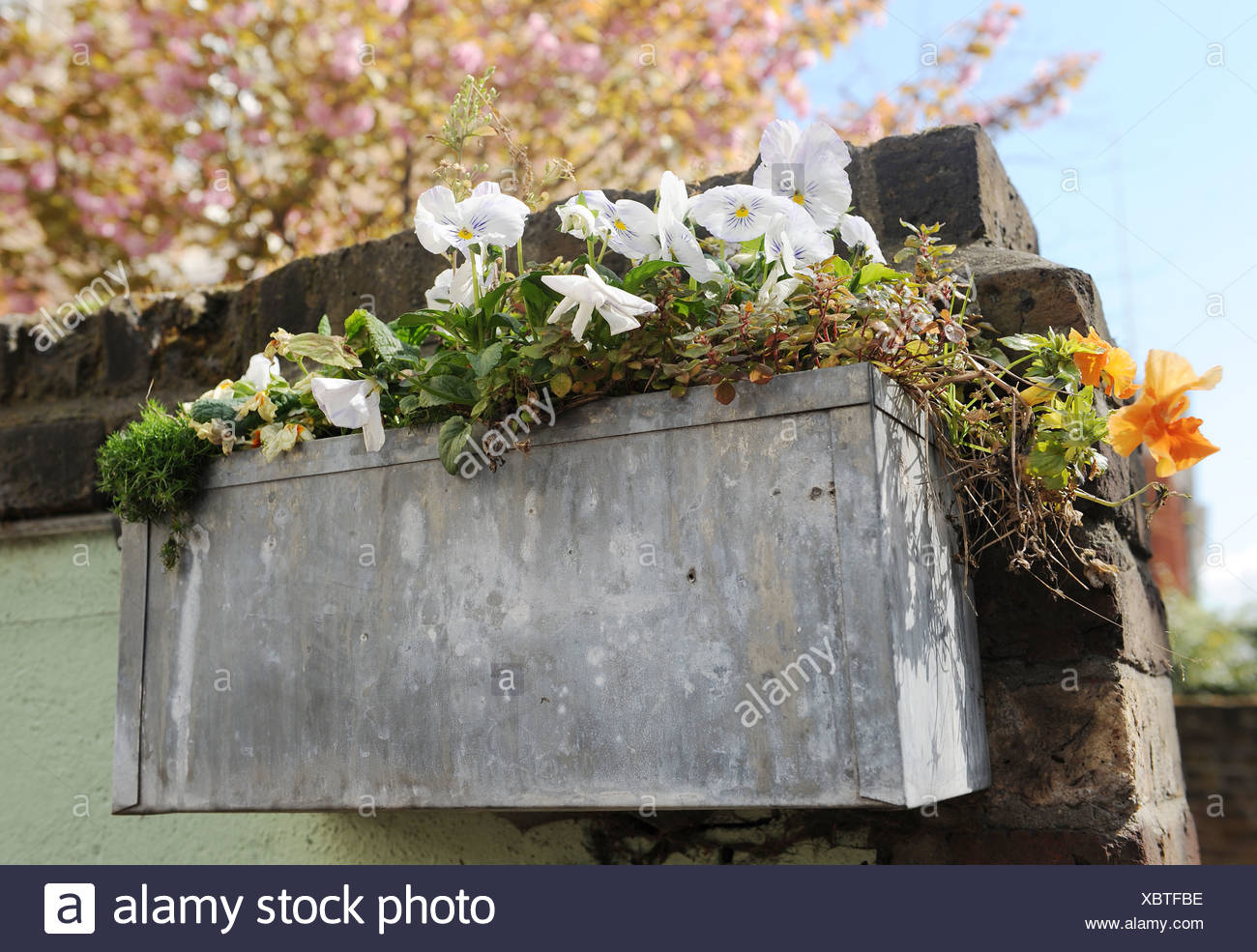 White pansy flowers in metal flower box on brick wall - Stock Image