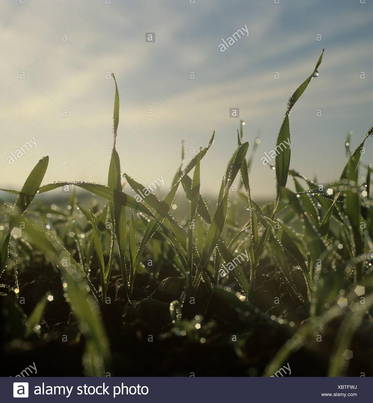 Dew drops of winter barley seedlings in early morning misty autumn light Stock Photo