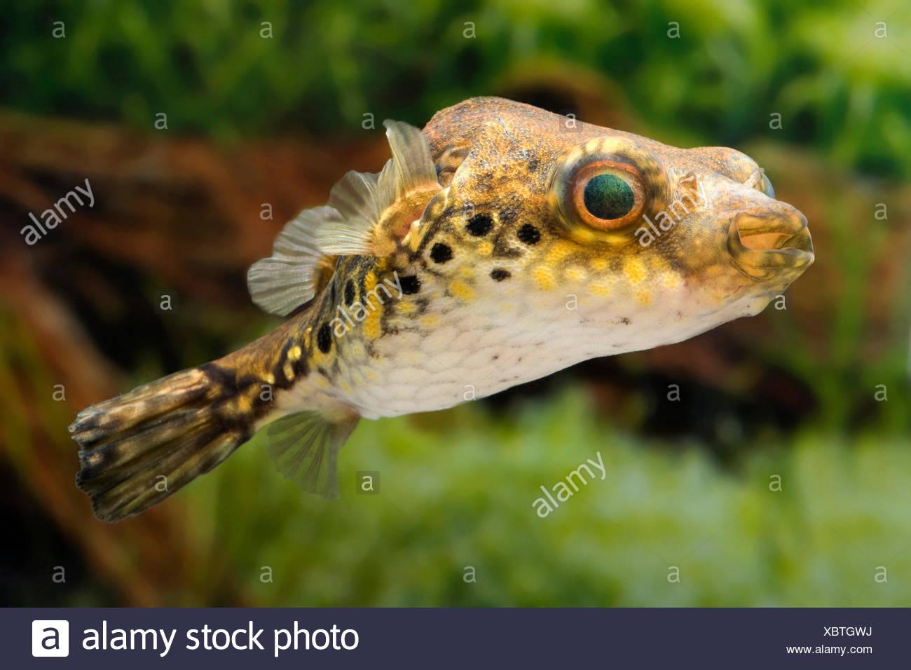 Palembang-Kugelfisch, Palembangkugelfisch (Tetraodon steindachneri, Tetraodon biocellatus, Tetraodon palembangensis, Pao palemba - Stock Image