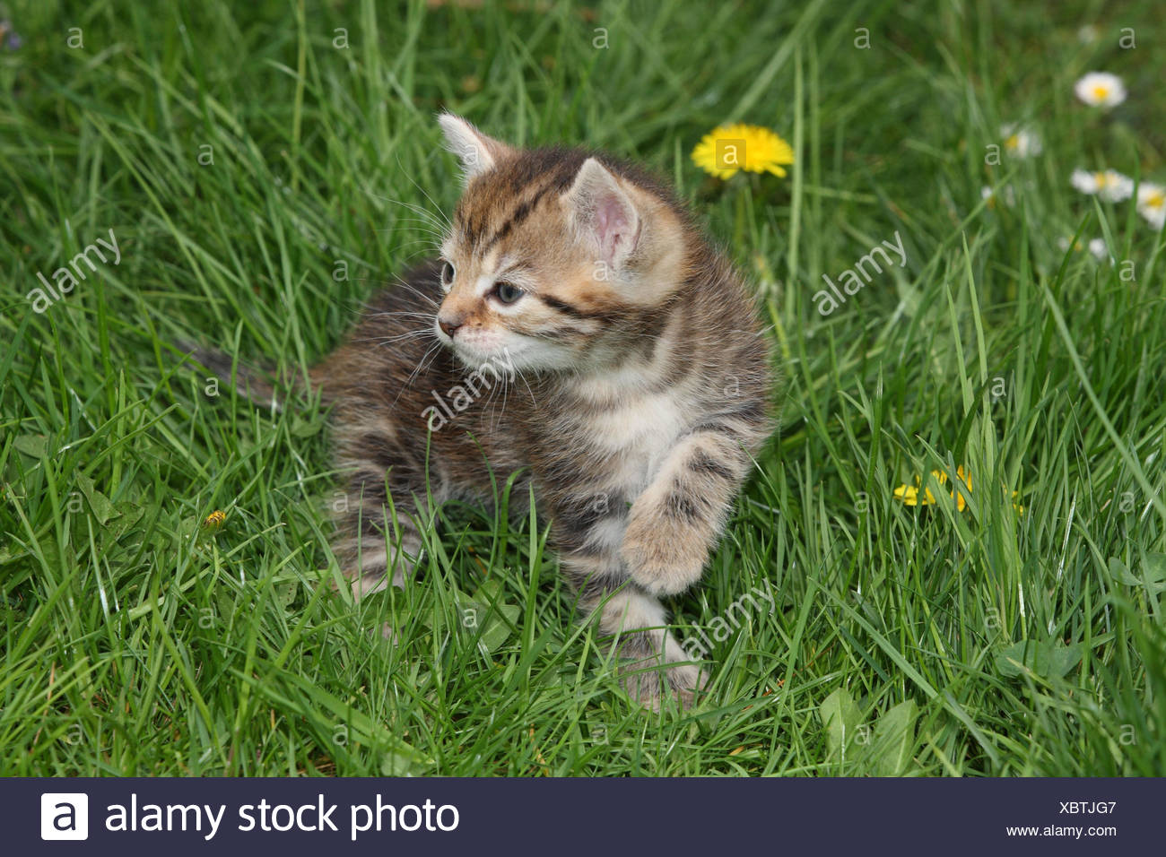 Cat, young, run, meadow, garden, animals, mammals, pets, small cats, Felidae, domesticates, house cat, young animal, kitten, small, awkward, clumsy, helplessly, sweetly, striped, look around, play curiosity, plants, individually, alone, young animals, animal baby, nature, outside, - Stock Image