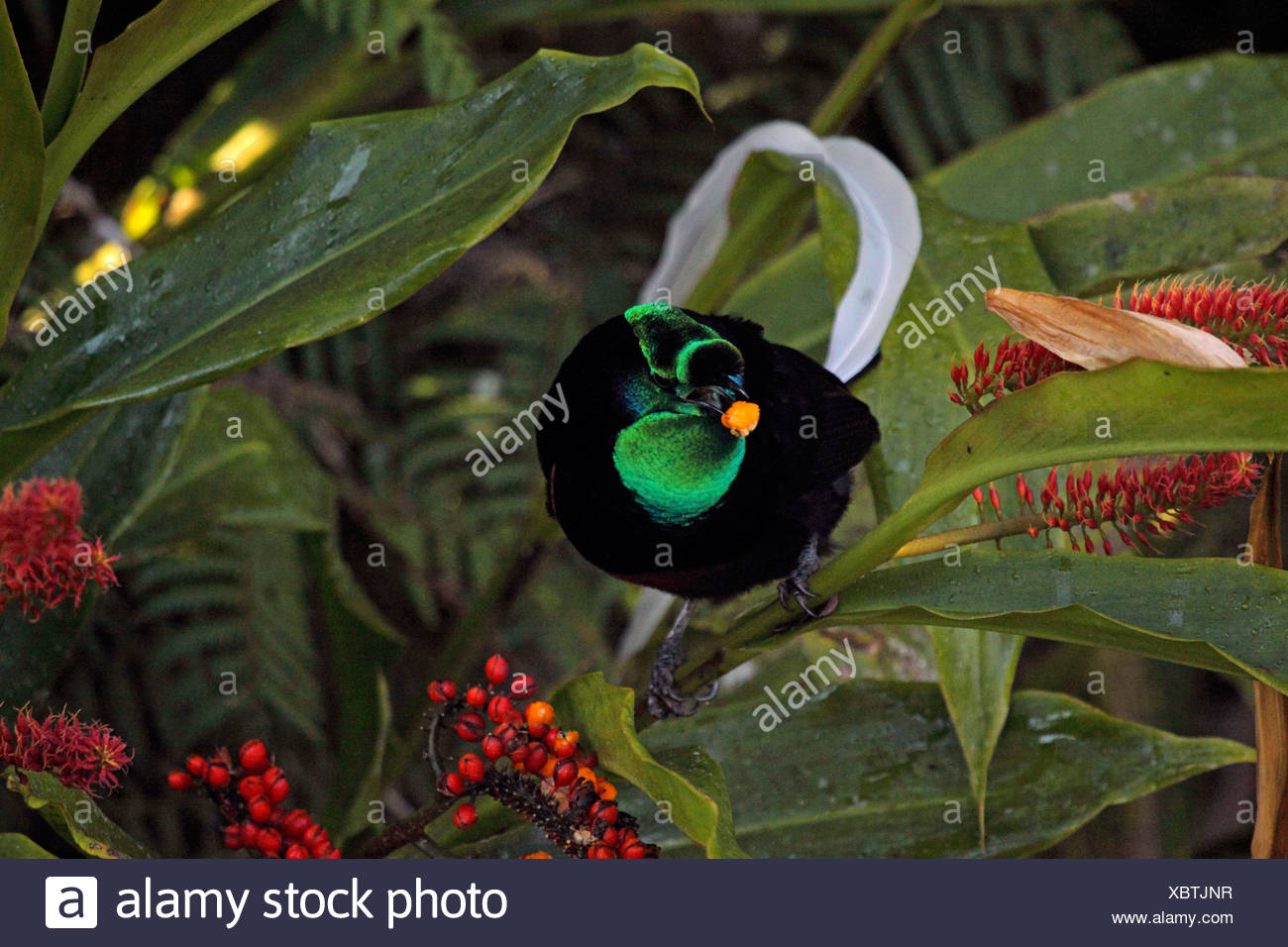 Ribbon-tailed bird of paradise (Astrapia mayeri), male with berry in the beak, Papua New Guinea, Western Highlands , Kumul - Stock Image