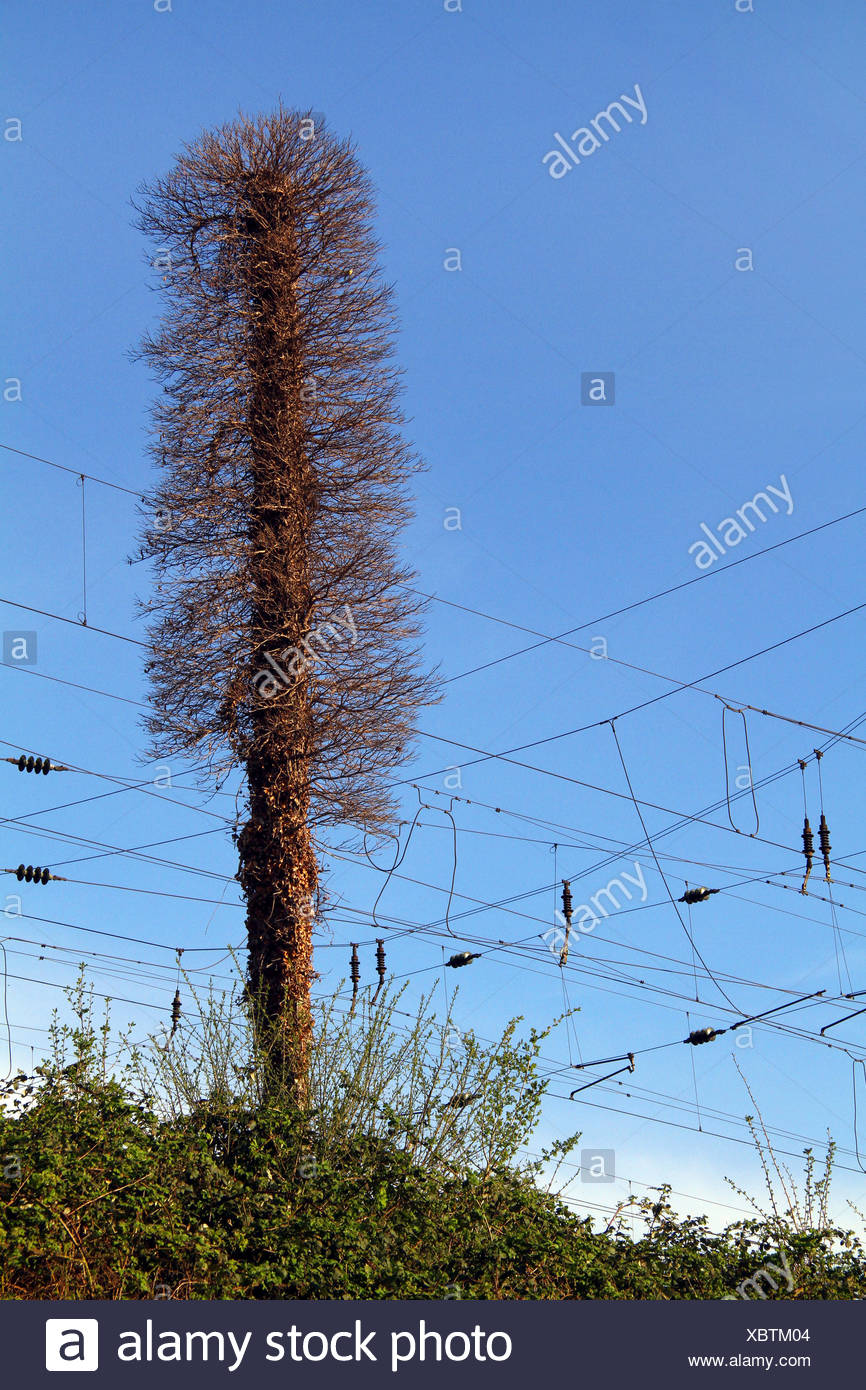 tree with dead ivy at railtracks, Germany - Stock Image