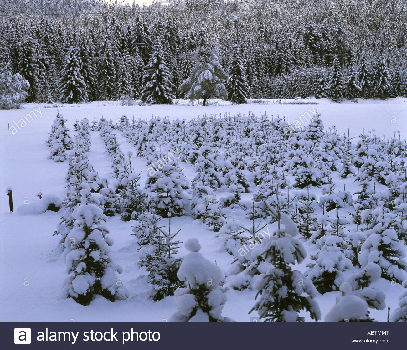 Nursery garden (tree breeding), conifers / Christmas trees, winters - Stock Image