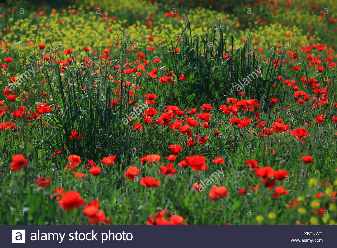 common poppy, corn poppy, red poppy (Papaver rhoeas), red and yellow blooming segetal weeds, Italy Stock Photo