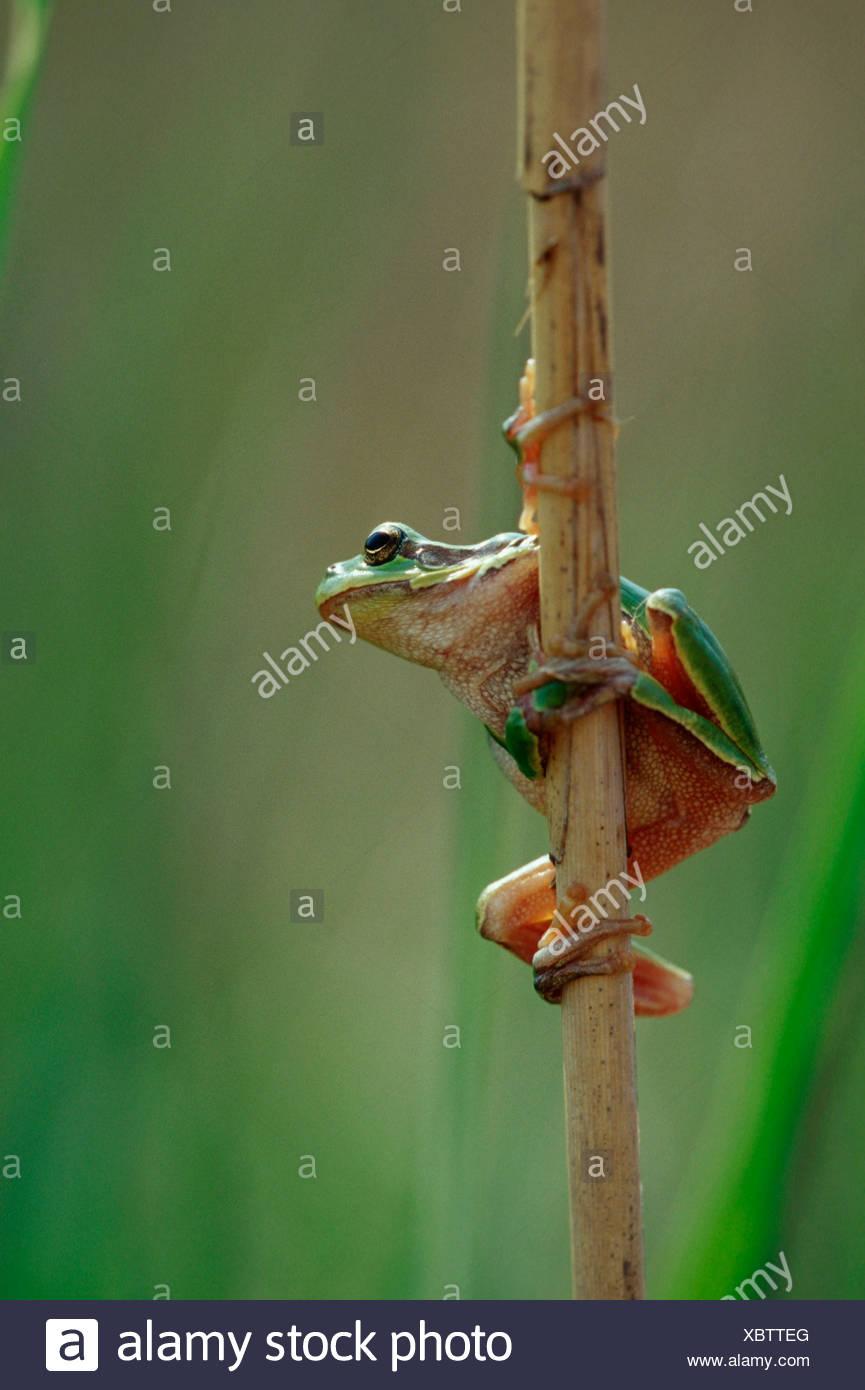 European Tree Frog, Neusiedler Lake, Austria / (Hyla arborea) Stock Photo