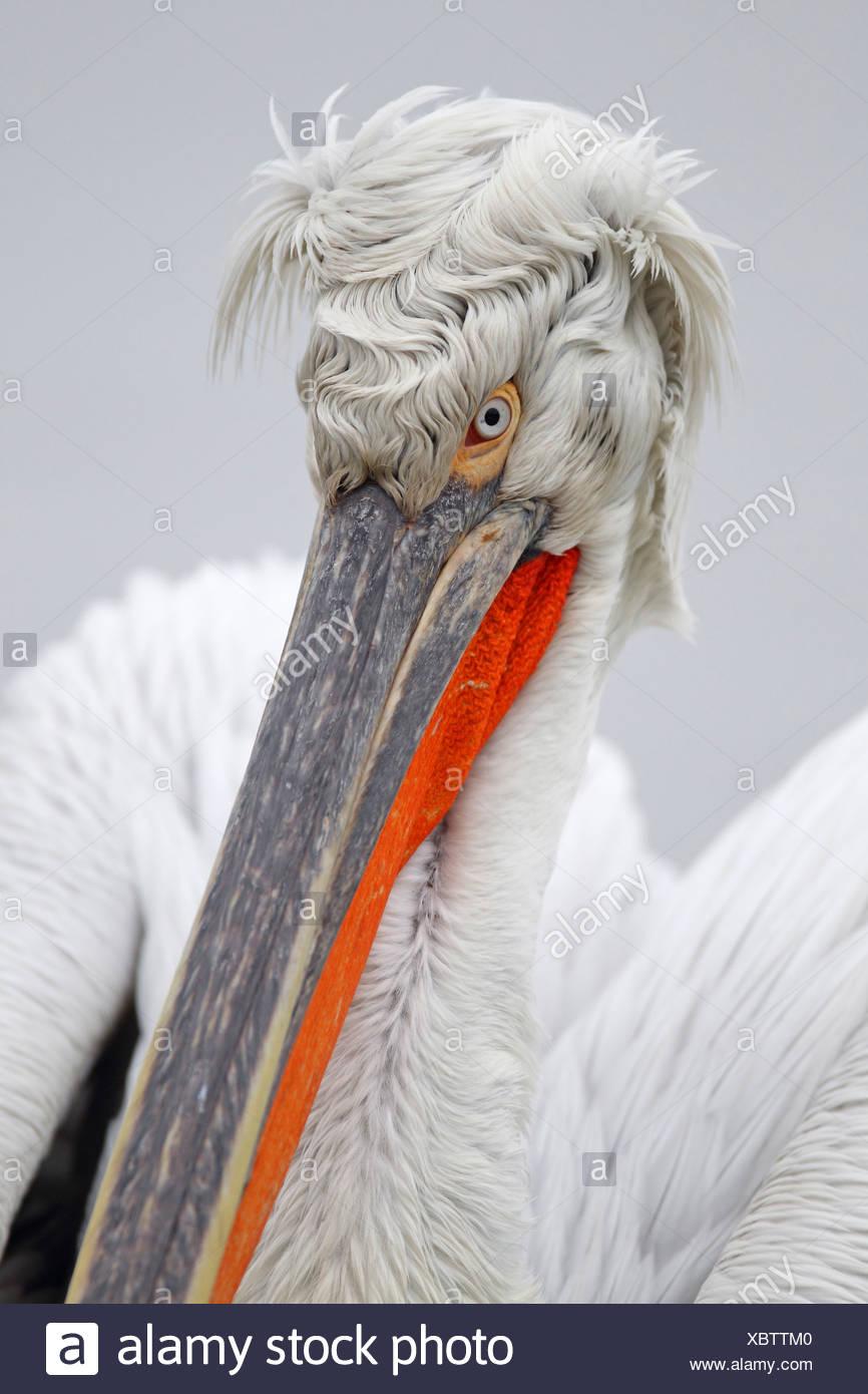 Dalmatian pelican (Pelecanus crispus), breeding plumage, portrait of the head, Greece, Kerkinisee Stock Photo