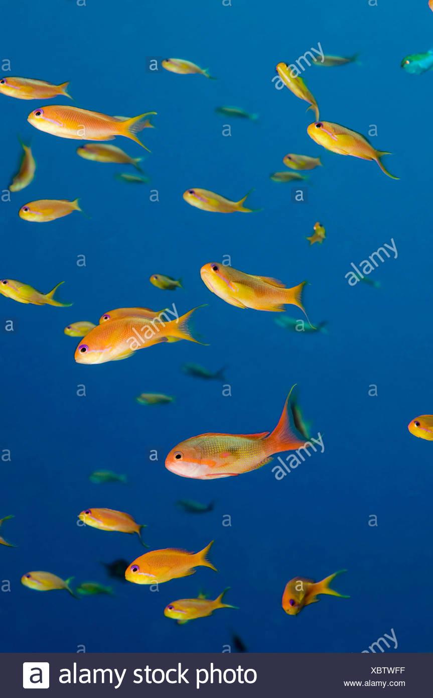 Egypt, Red Sea, Lyretail Anthias  (Pseudanthias squamipinnis) - Stock Image
