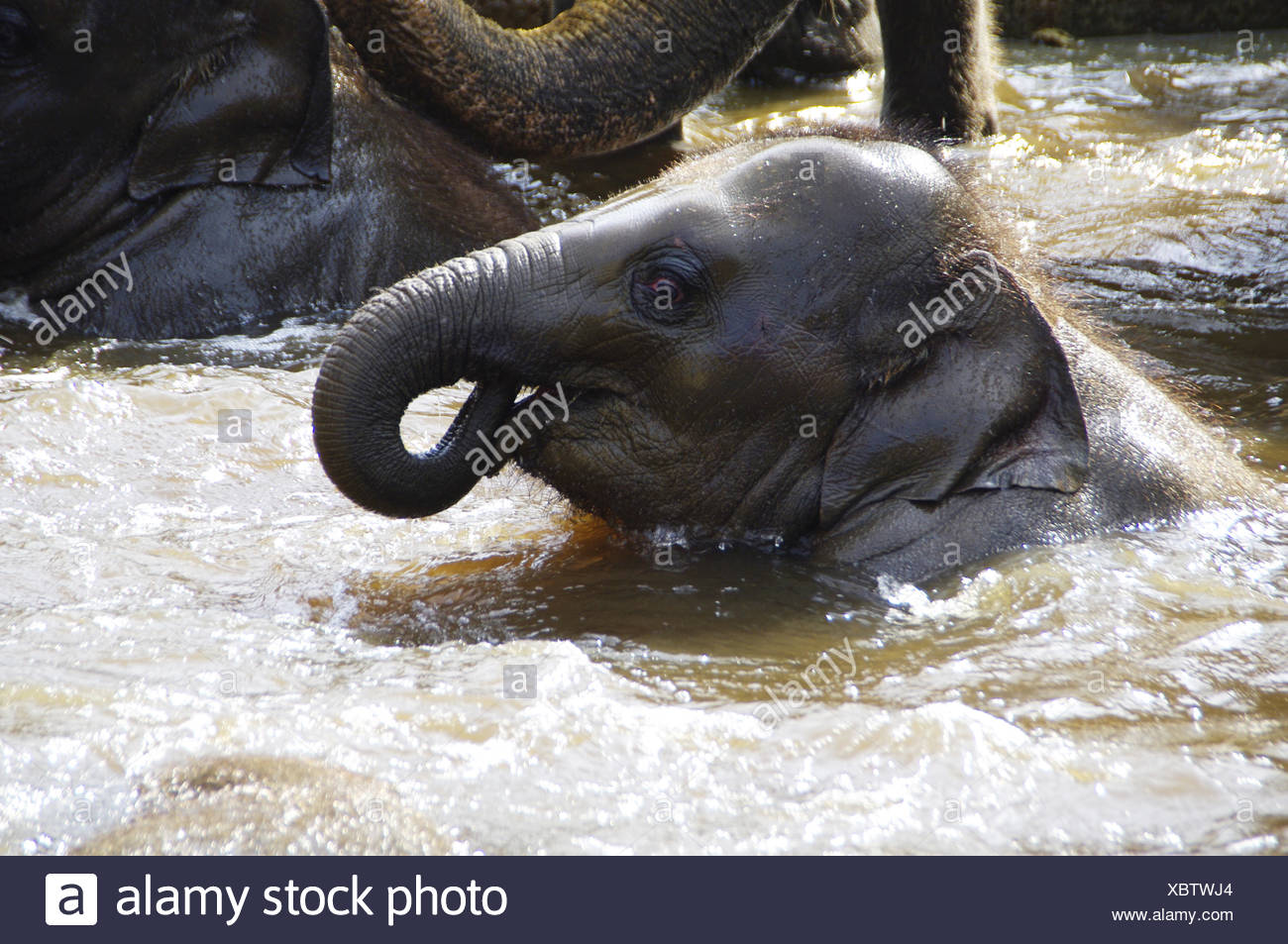 Elaphant calf - Stock Image