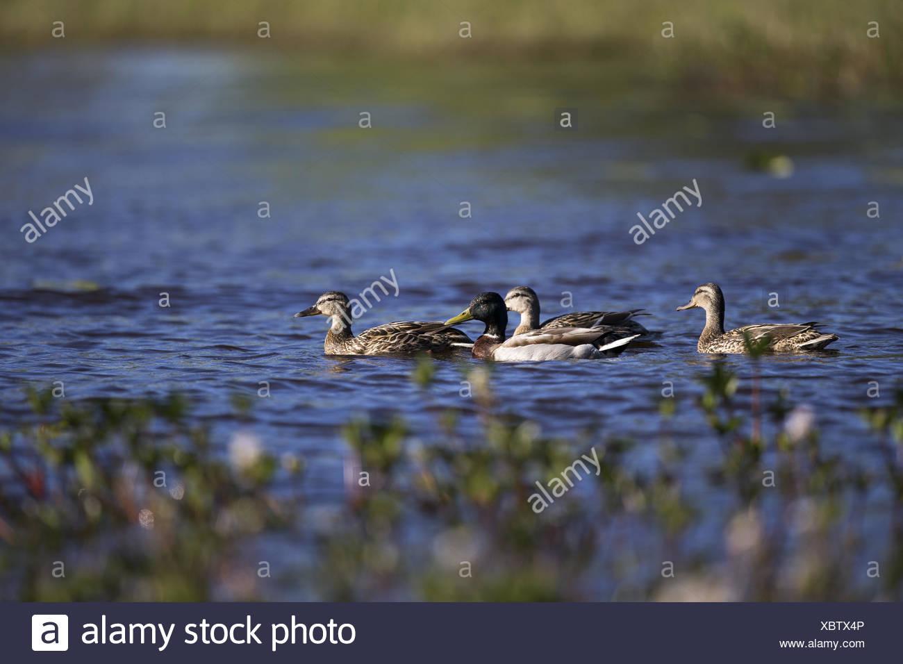mallards in the nationalpark Hamra - Stock Image