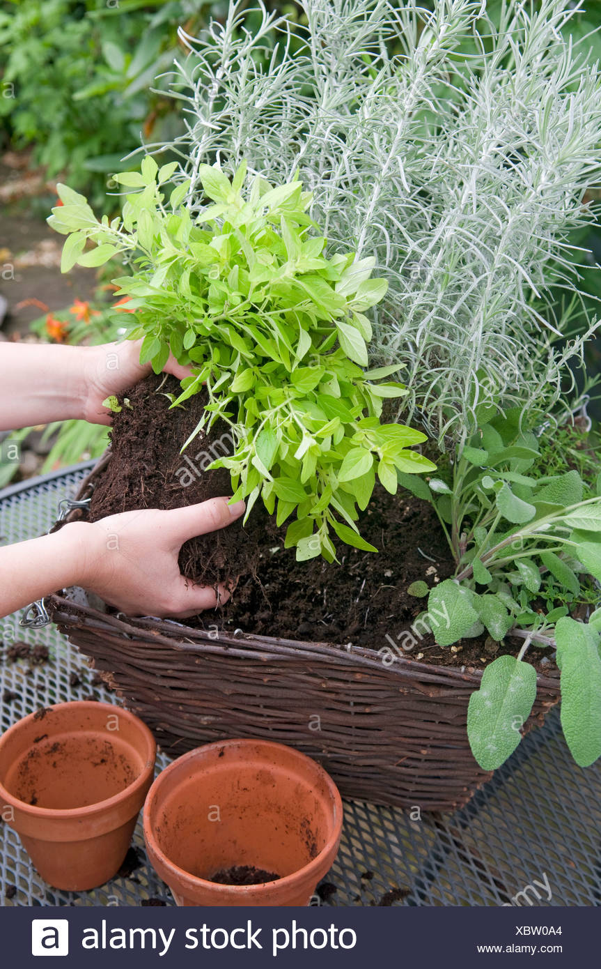 Person separating clump of basil plant - Stock Image