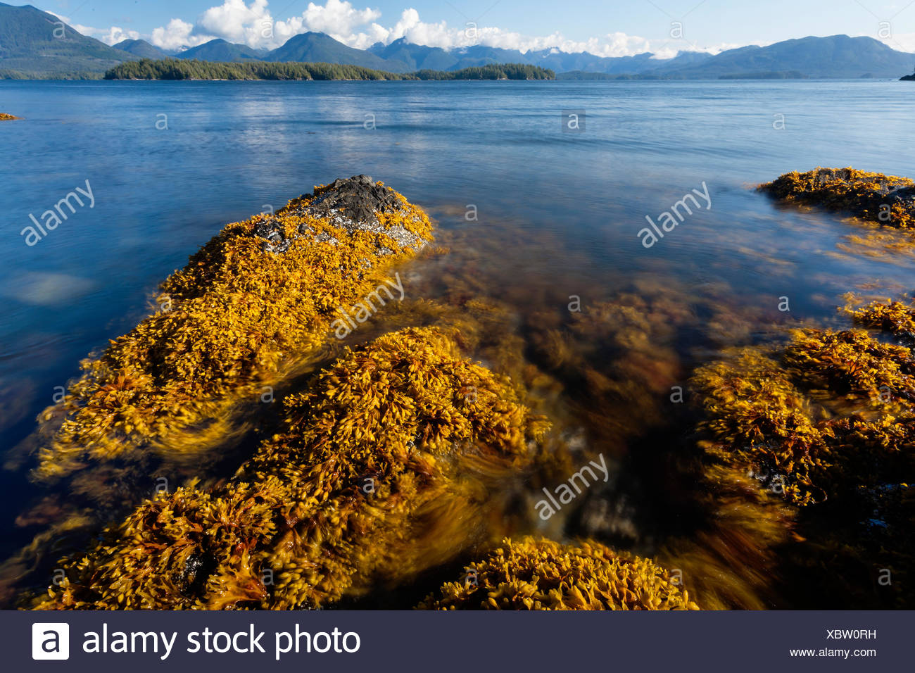 Kelp sways in the tidal current around Dodd Island in the Broken Island Group Barkley Sound Vancouver Island British Columbia - Stock Image