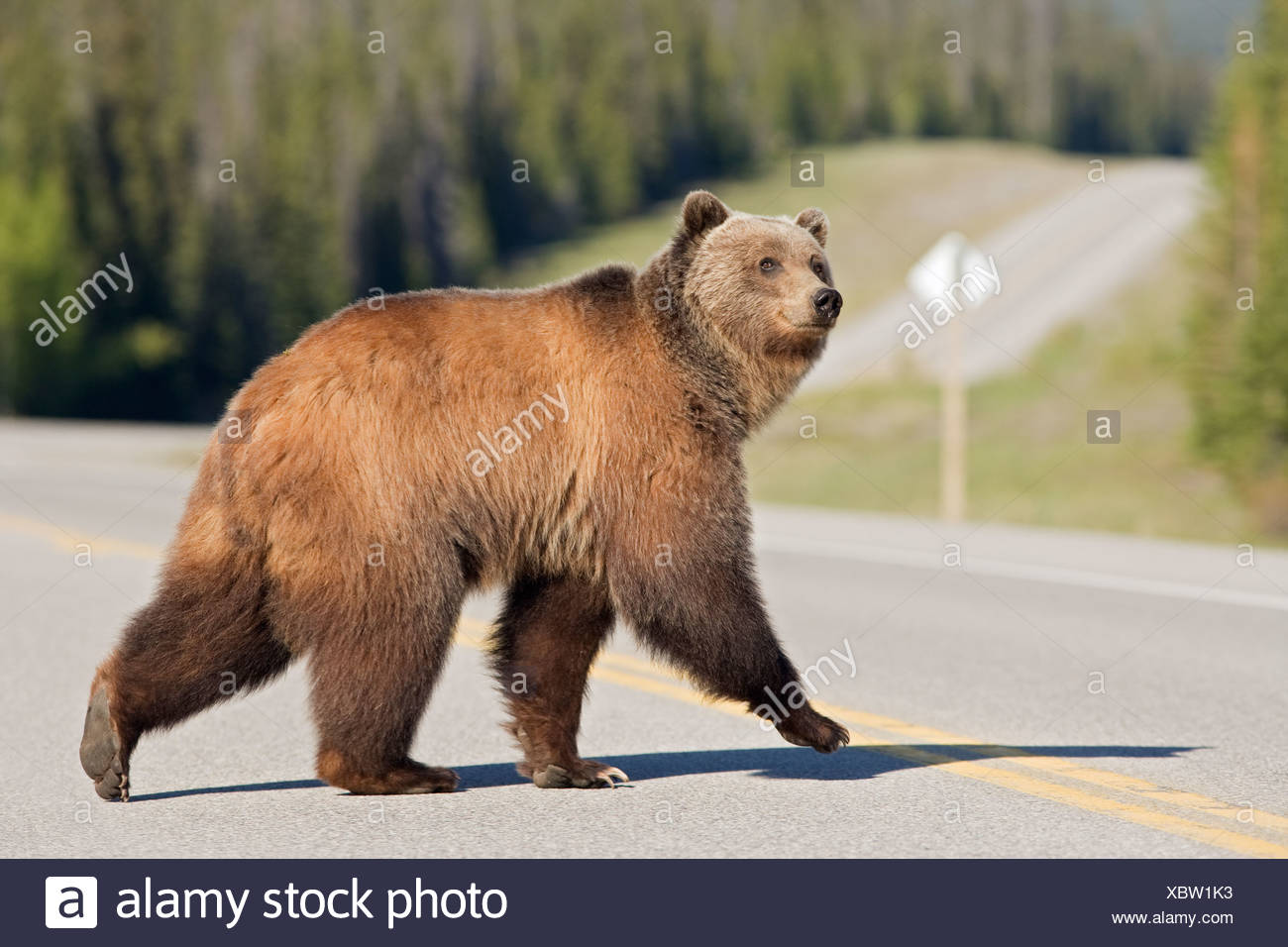 Grizzly bear (Ursus arctos horribilis) crossing Highway 11 near Timber Creek, Alberta, Canada - Stock Image