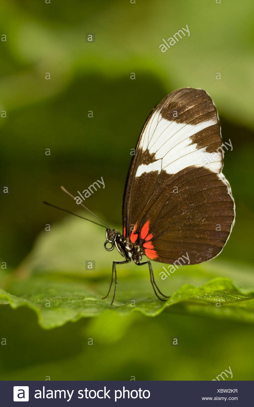 Close-up of a Sapho Longwing (Heliconius sapho) butterfly - Stock Image