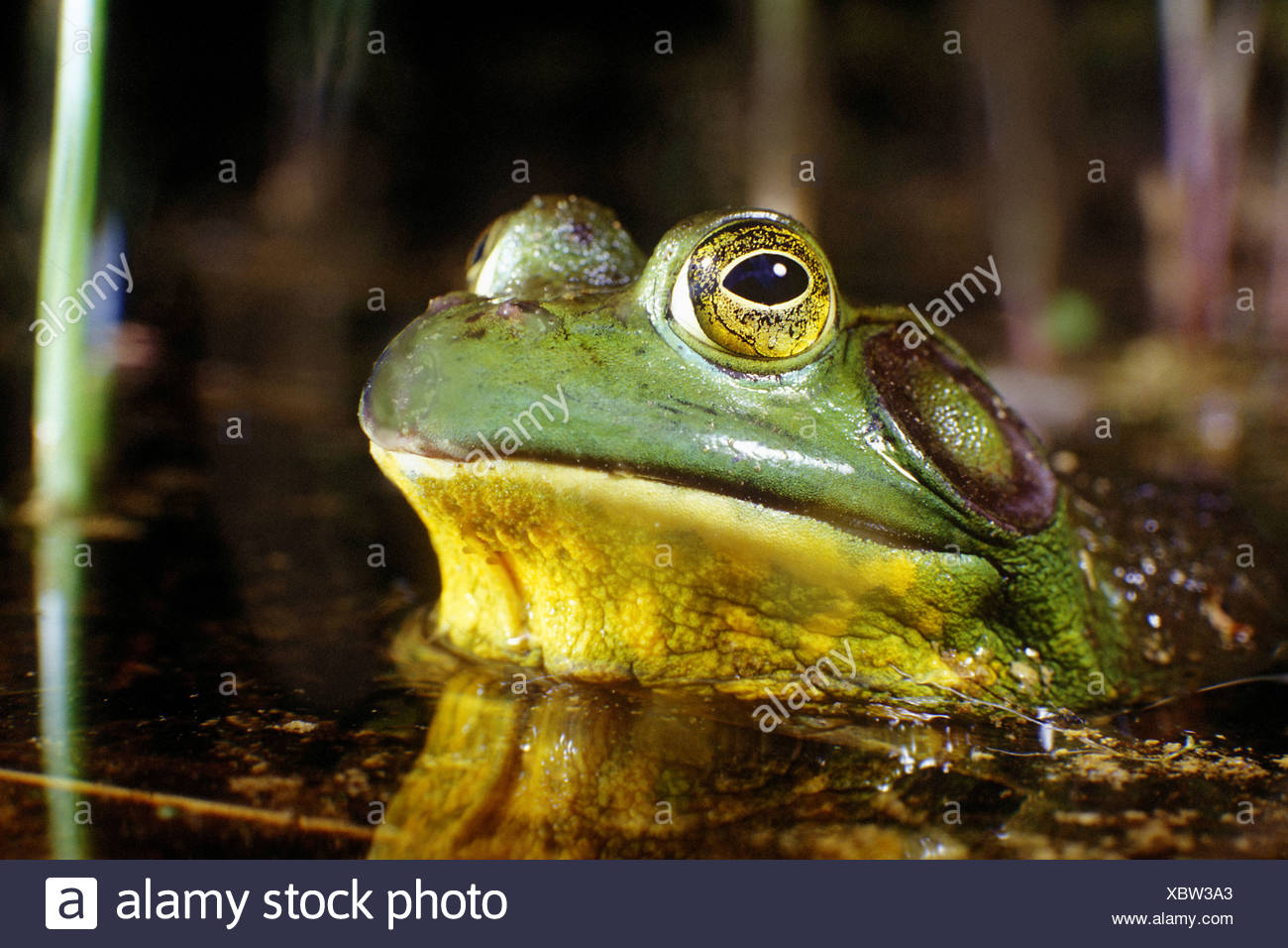 With eyes bulging, a bullfrog emerges from the depths of its kettle pond habitat in Cape Cod, Massachusetts. Stock Photo