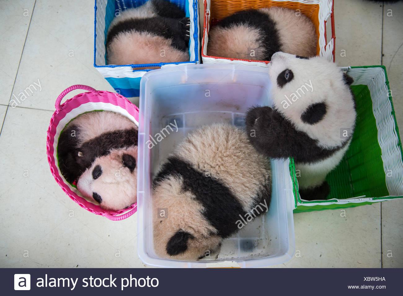 Baby giant pandas in baskets at the Bifengxia Panda Base giant panda breeding center. - Stock Image