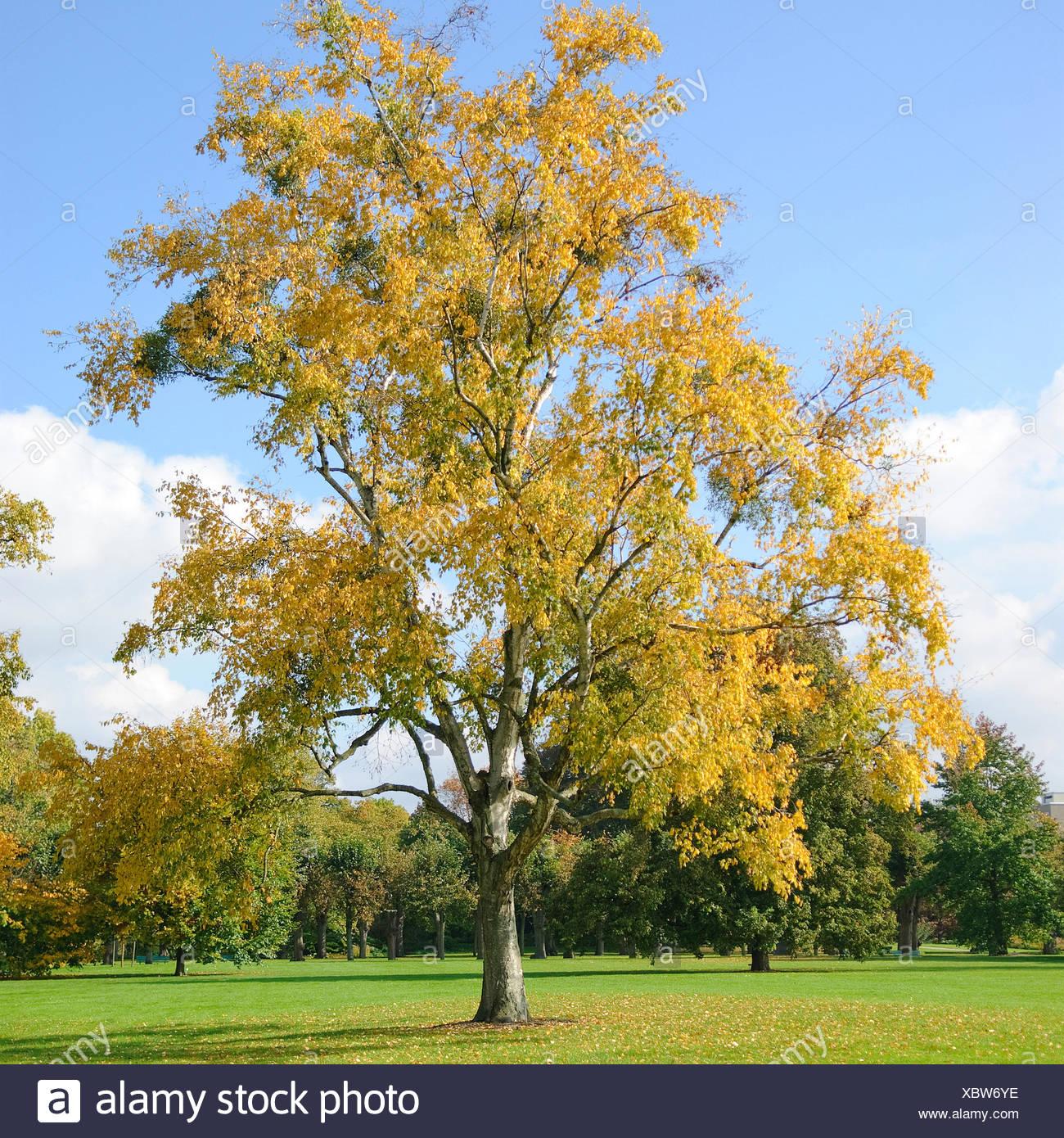 paper birch (Betula papyrifera), in autumn - Stock Image