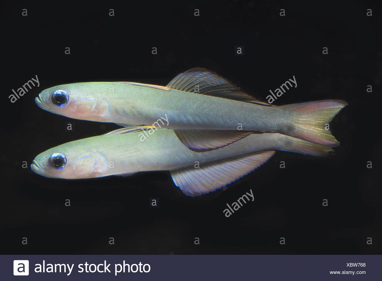 blackfin dartfish, ptereleotris evides - Stock Image