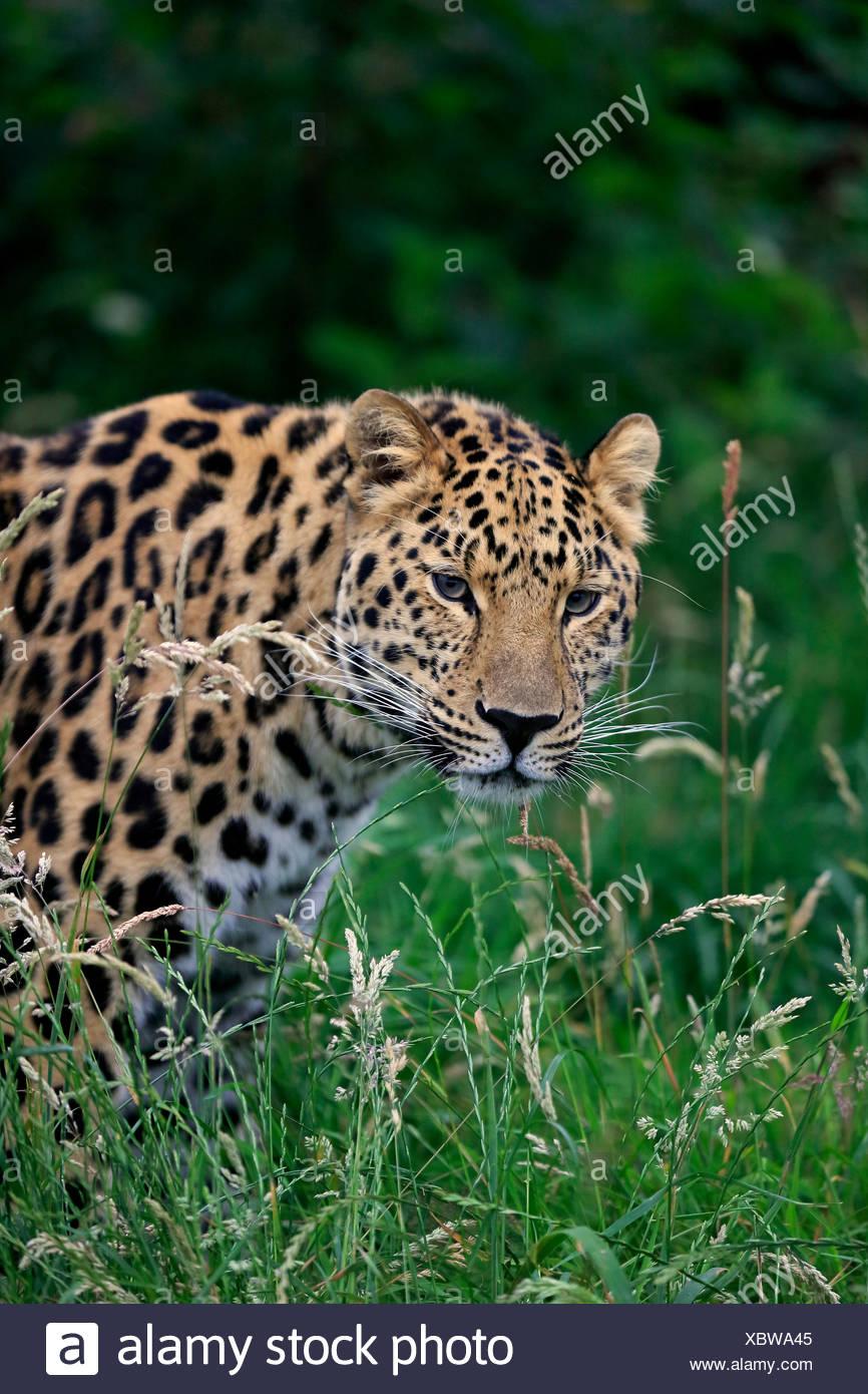 Amur Leopard (Panthera pardus orientalis), adult, native to Asia, captive, England, United Kingdom - Stock Image
