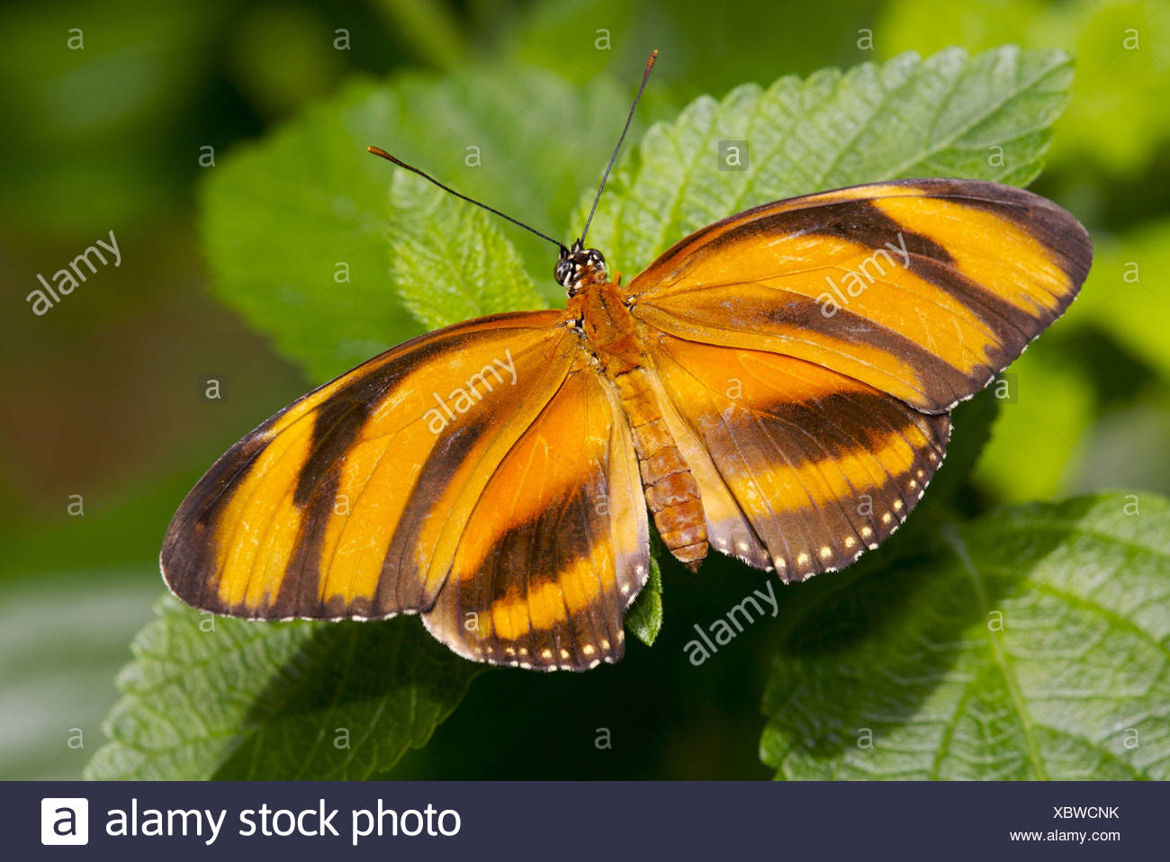 butterfly Dryadula phaetusa yellow roved animal insect concept delicately fine brown filigree Canada British Columbia Victoria - Stock Image