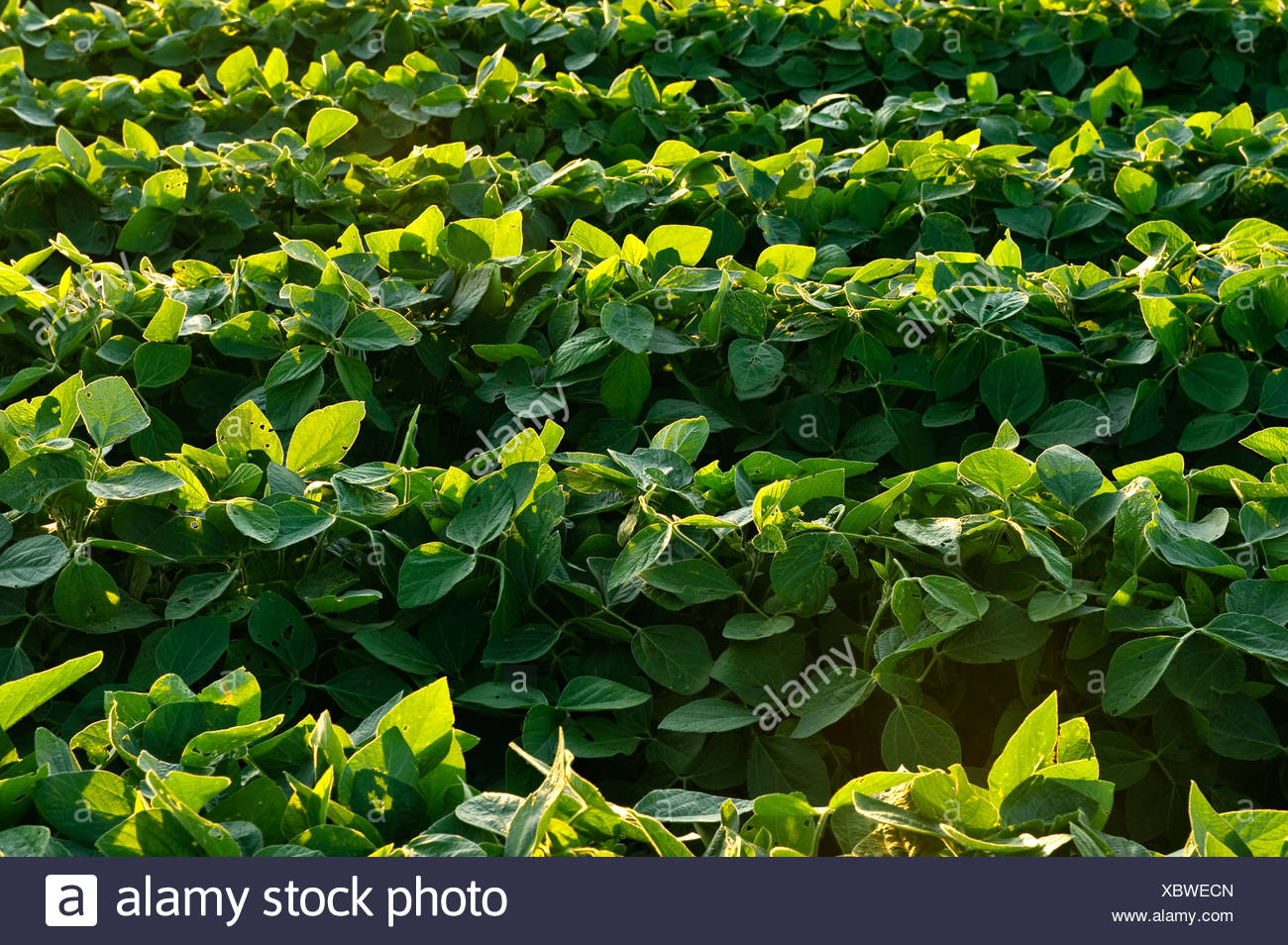 Agriculture - Rows of healthy mid growth soybeans in late afternoon light / Iowa, USA. - Stock Image