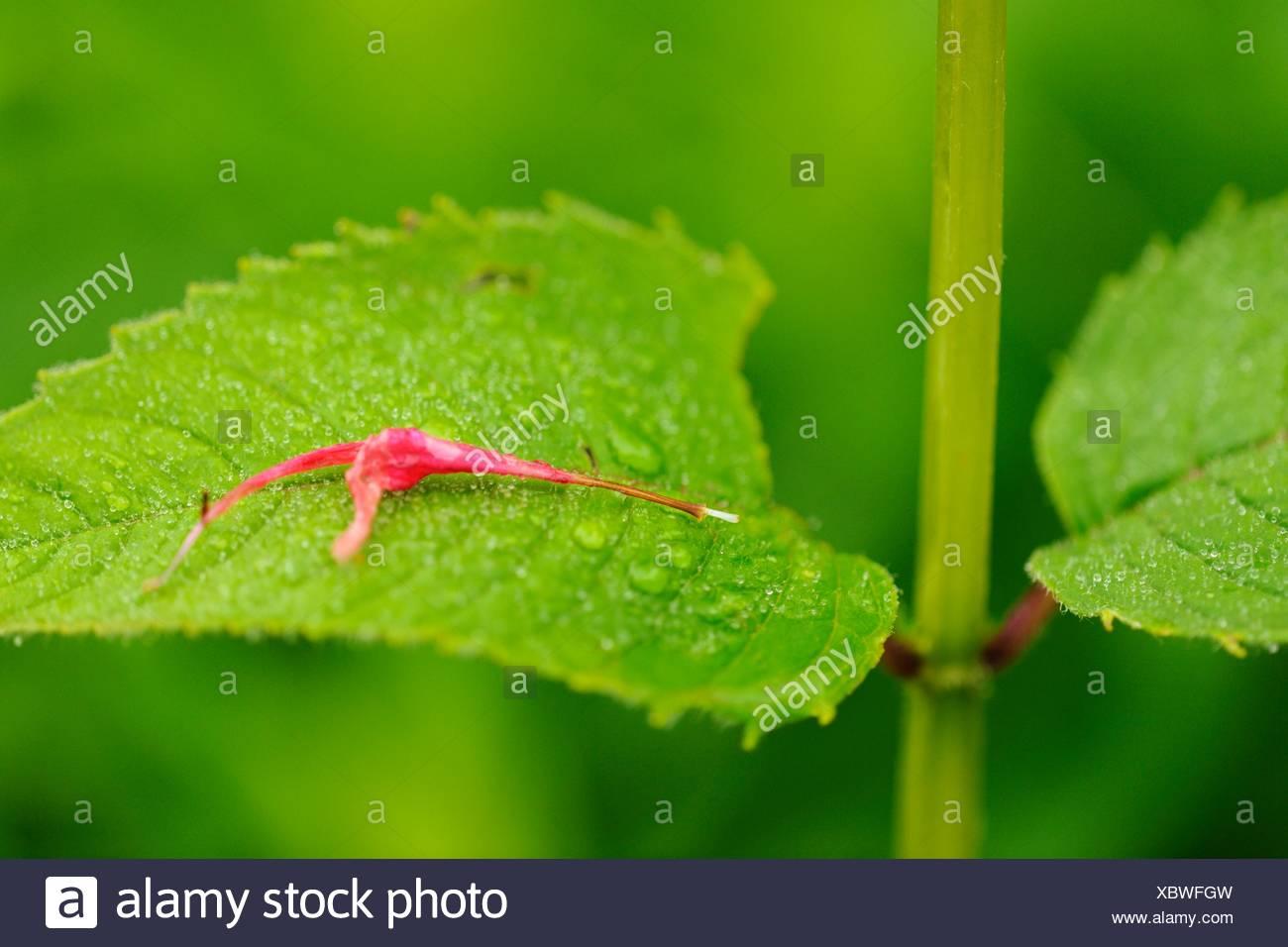Wild Bergamot  Red bee balm, Monarda didyma Fallen petal - Stock Image