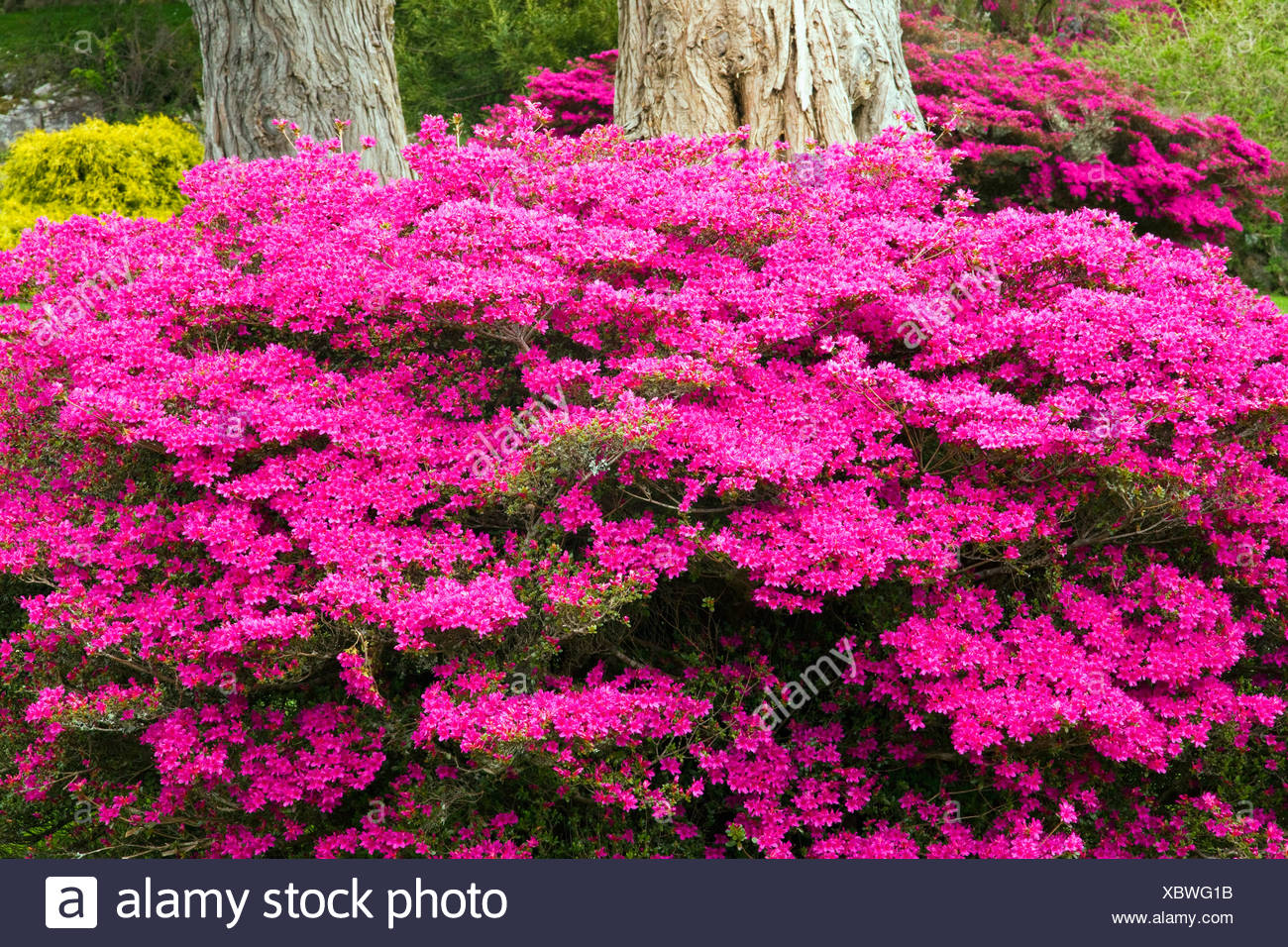 Bright pink flowers growing at the base of a tree in muckross bright pink flowers growing at the base of a tree in muckross gardens killarney county kerry ireland mightylinksfo