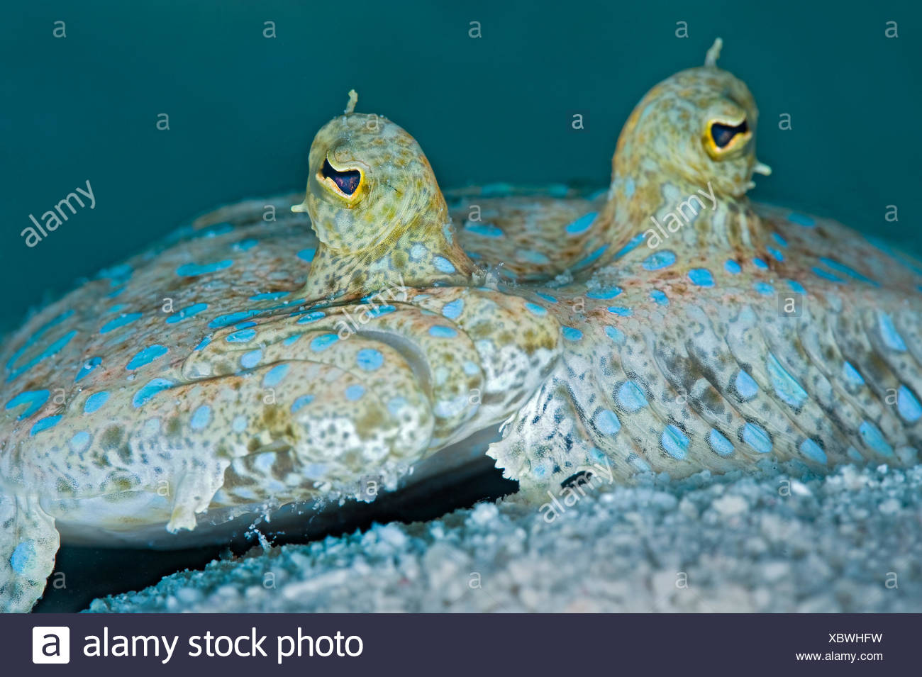 Peacock flounder (Bothus lunatus) resting on the seabed, East End, Grand Cayman, Cayman Islands, British West Indies, Caribbean Sea. - Stock Image