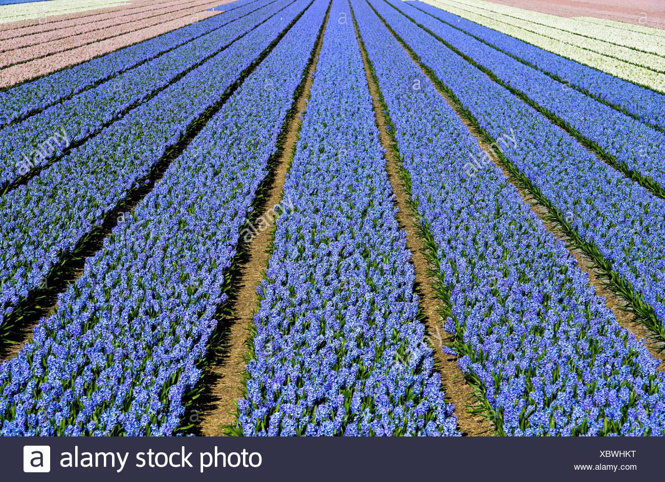 Cultivation of blue Grape hyacinth (Muscari), Production of flower bulbs, flower bulb region Bollenstreek, Noordwijkerhout Stock Photo