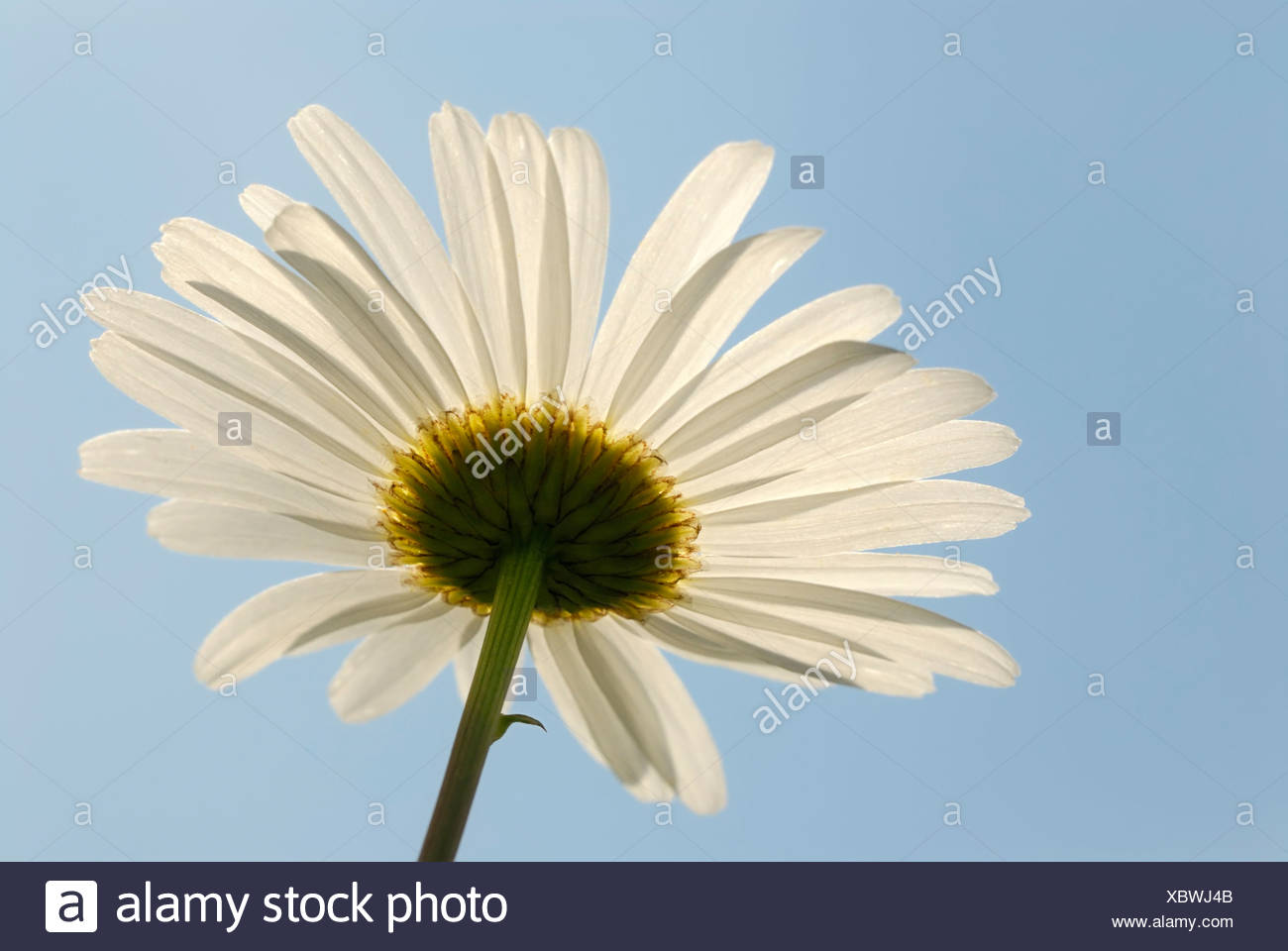 Oxeye Daisy or Marguerite (Leucanthemum vulgare), flower seen from below with backlighting Stock Photo