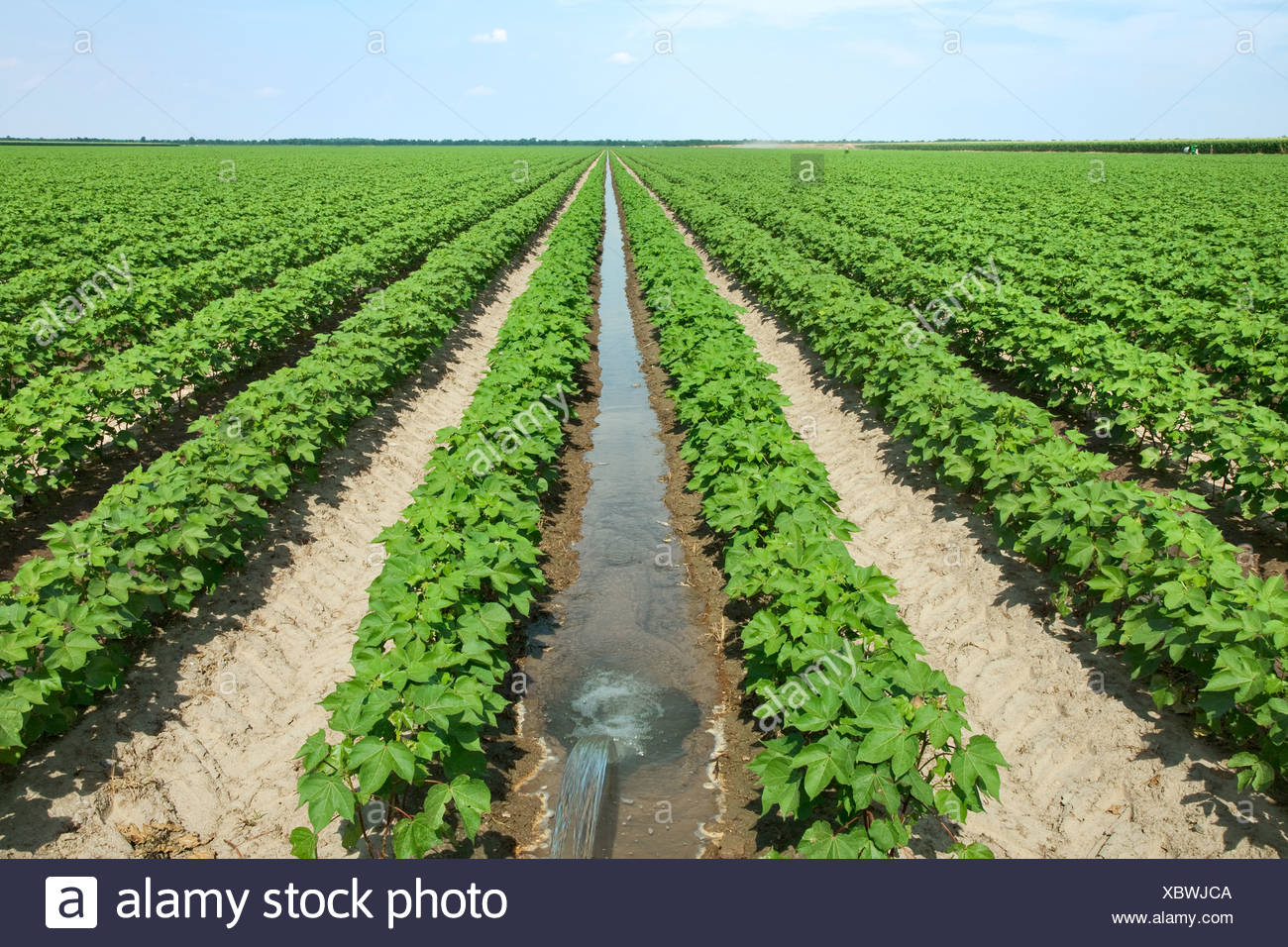 Field of mid growth cotton at fruit set stage, being furrow irrigated. The water is directed down every other row in the field. - Stock Image