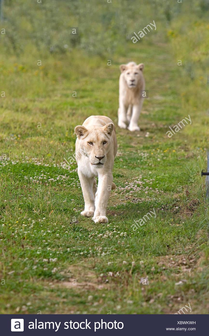 White Lion, panthera leo krugensis, Pair Stock Photo