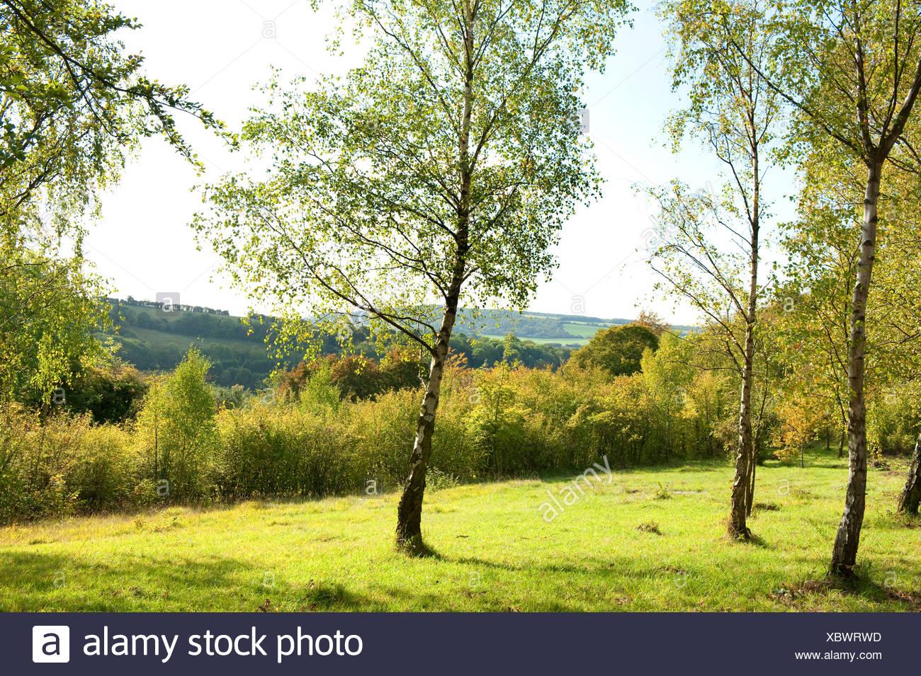 Silver Birch Trees Betula pendula Ranscombe Farm Nature Reserve Kent UK - Stock Image