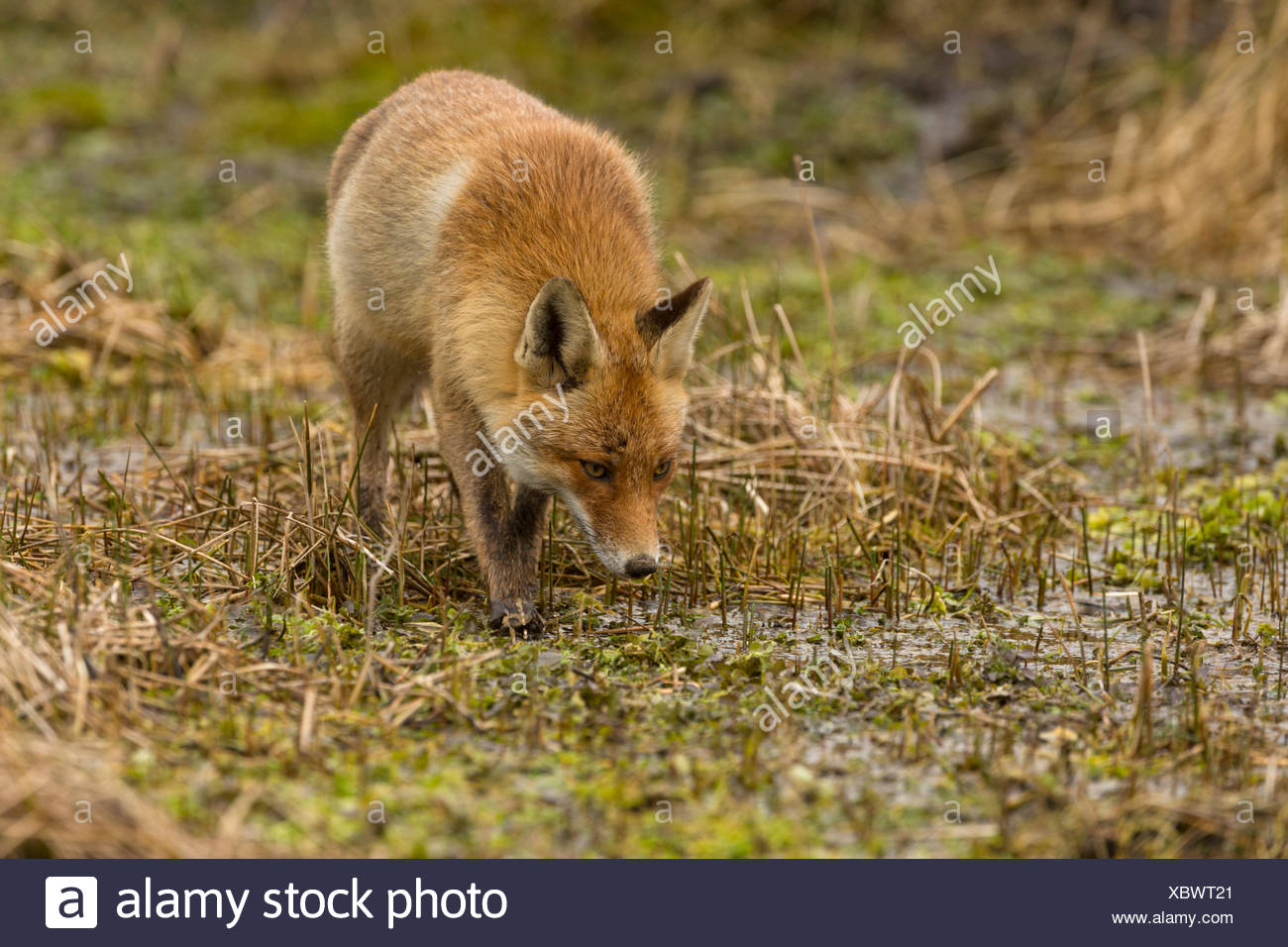Rotfuchs (Vulpes vulpes), Duenen Nordholland, Niederlande - Stock Image