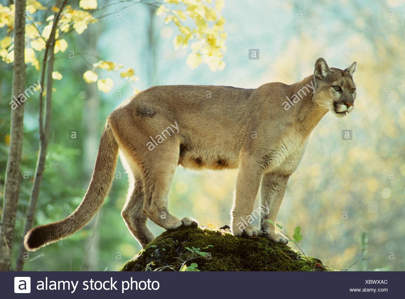 Adult female cougar (Puma concolor), Alberta, Canada Stock Photo ...