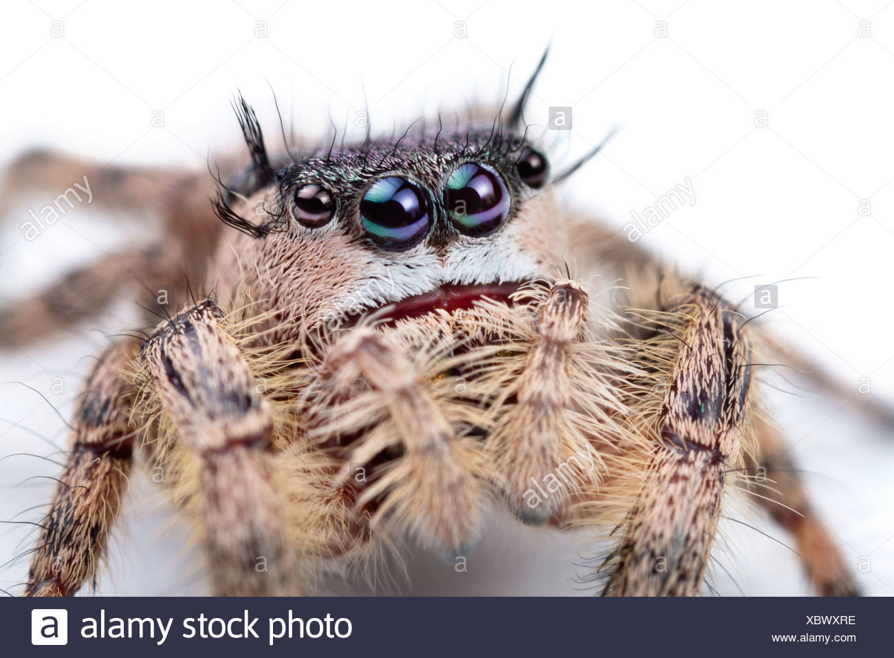 Canopy Jumping Spider female captive, orginating from North America. Size < 1cm - Stock Image