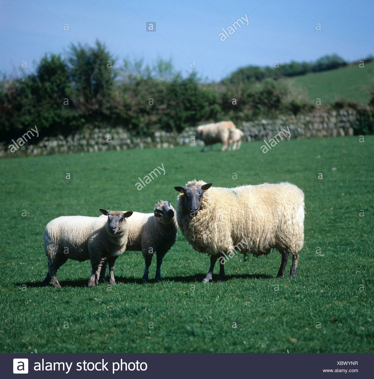 Bleu de Maine ewe sheep with twin lambs on a coastal hill pasture North Devon - Stock Image