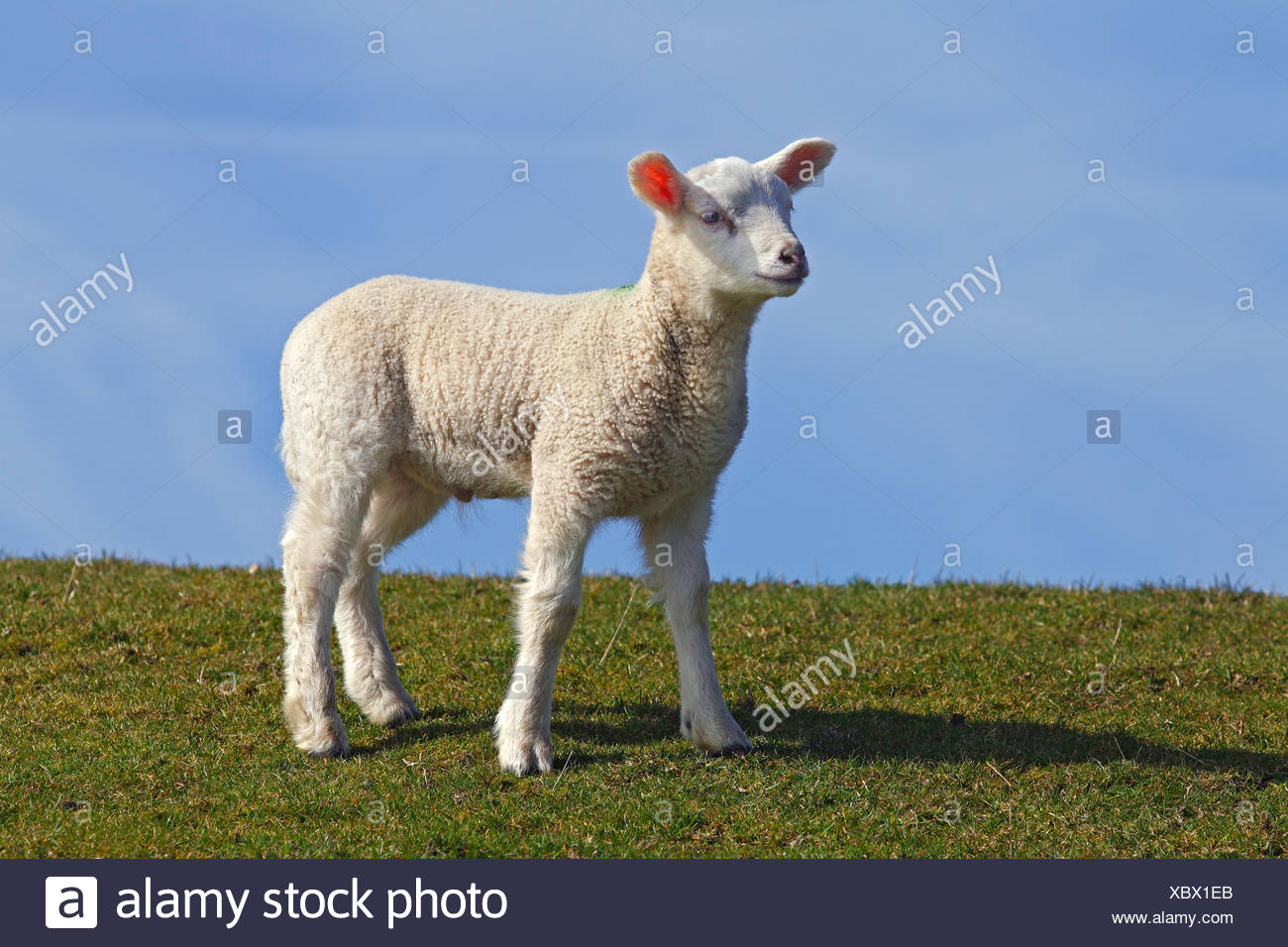 Lamb, domestic sheep, ewe lamb (Ovis ammon f. aries) standing on a dyke, Schleswig-Holstein, Germany, Europe - Stock Image