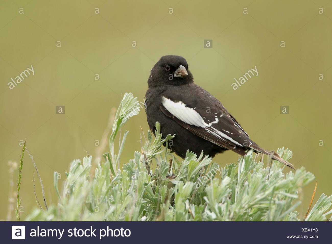 Lark Bunting, Calamospiza melanocorys, Montana, USA - Stock Image