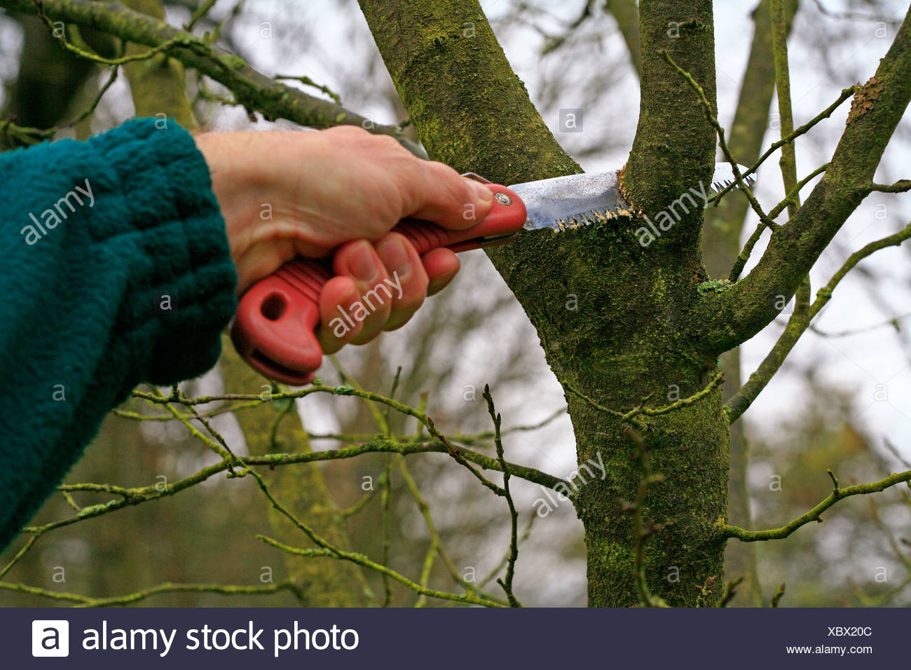 Cutting branches of a fruit tree with a small hand-held saw - Stock Image