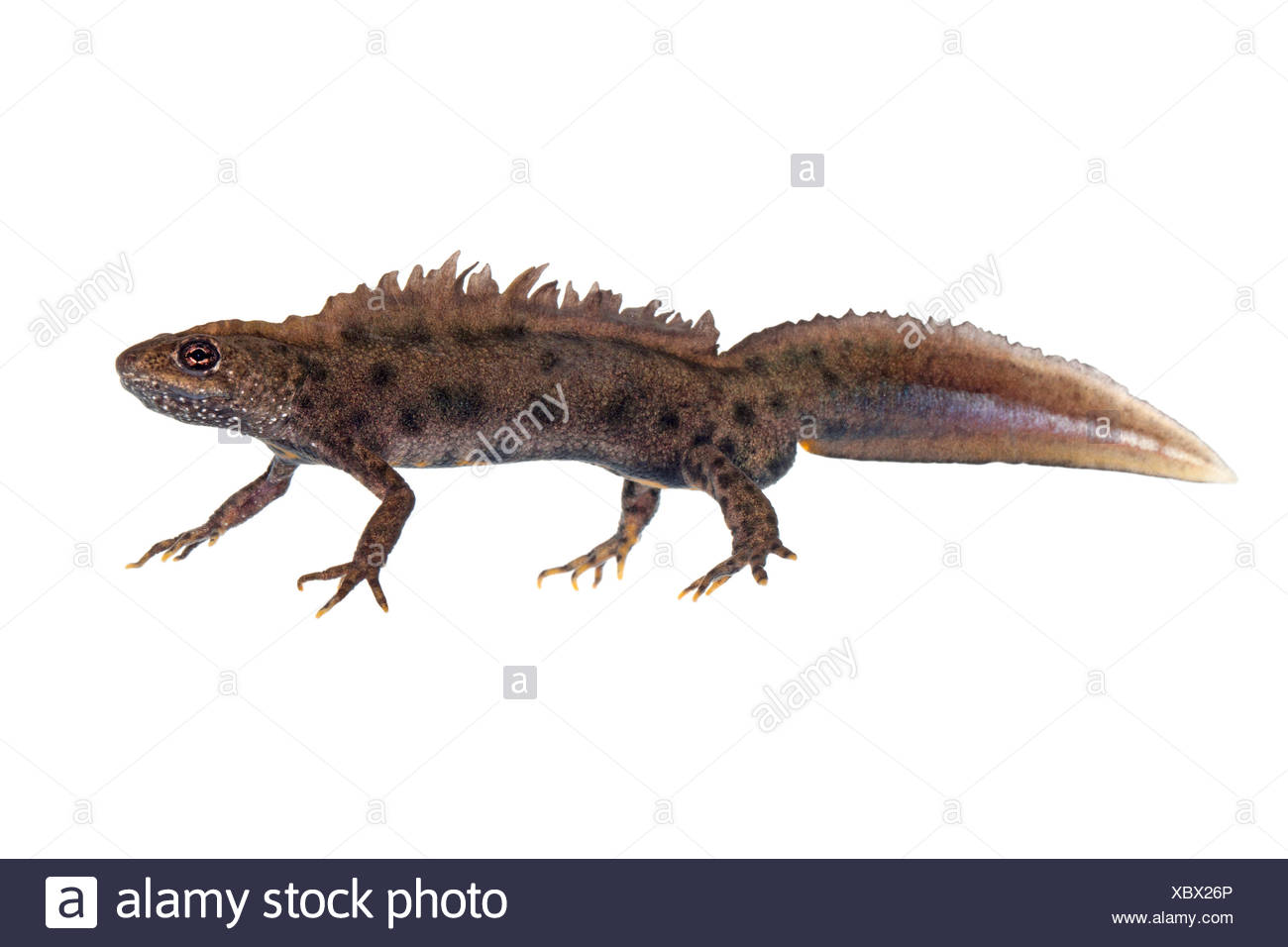 Male Italian crested newt photographed on a white background - Stock Image