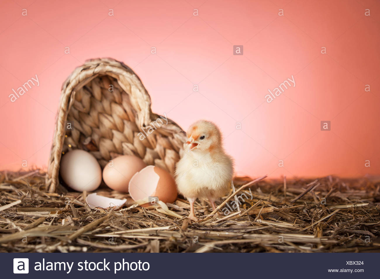 newly hatched chick - Stock Image