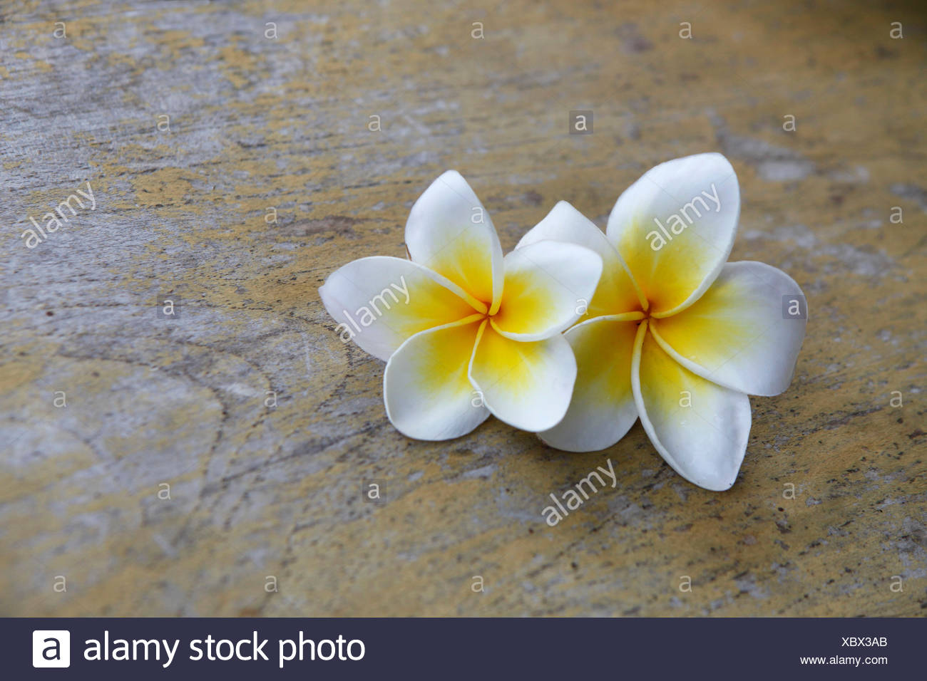 Cup Flower Plant Wood Bali Indonesia Flowers Horizontal White Beauty