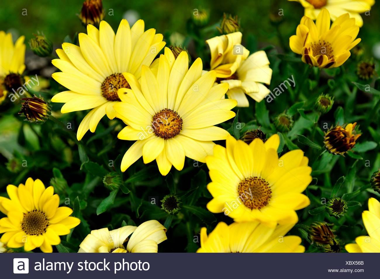 Giant Margaritas, Chrysanthemum maximum - Stock Image