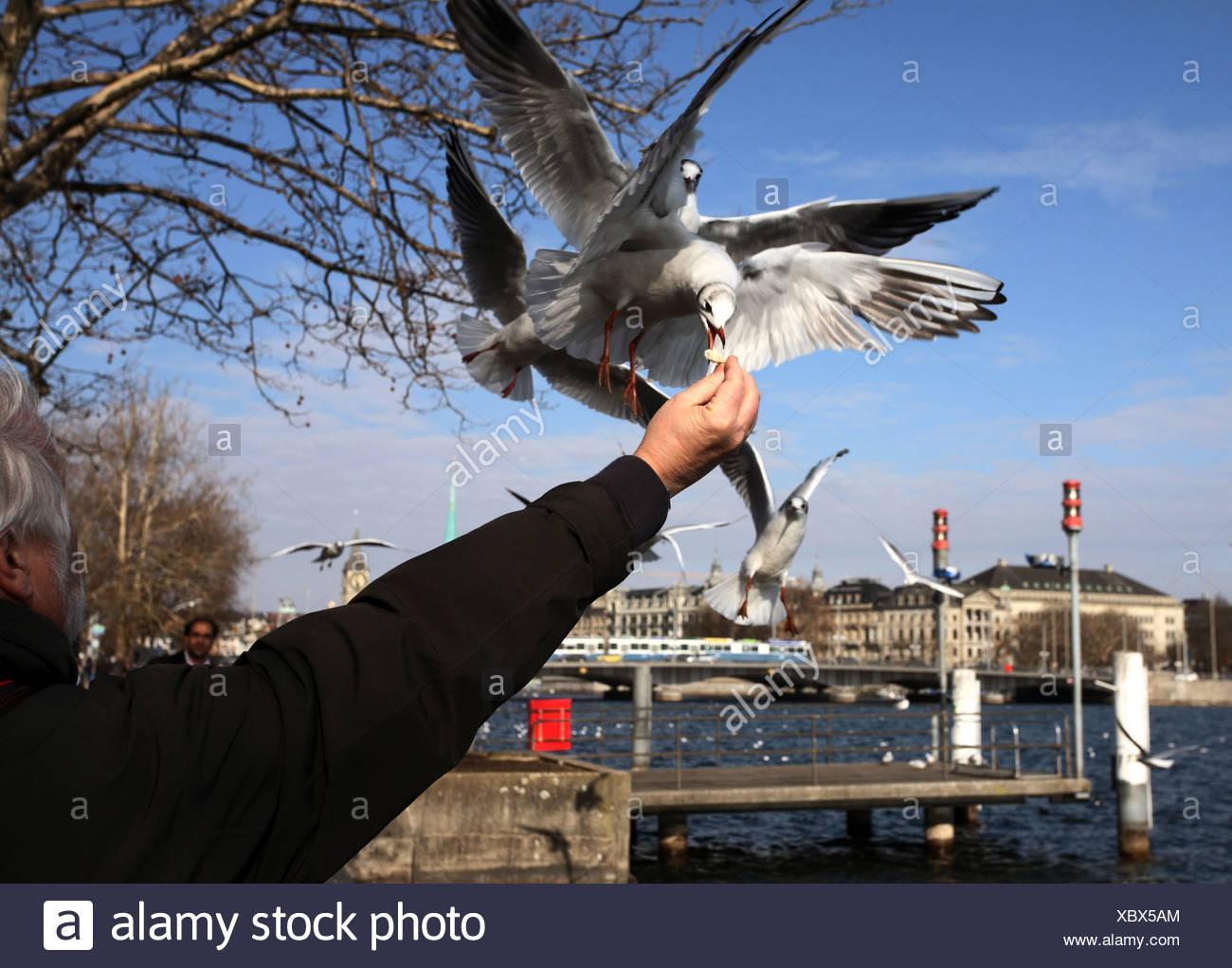 Zurich, Switzerland, man feeding seagulls on Zuerichsee out of hand - Stock Image